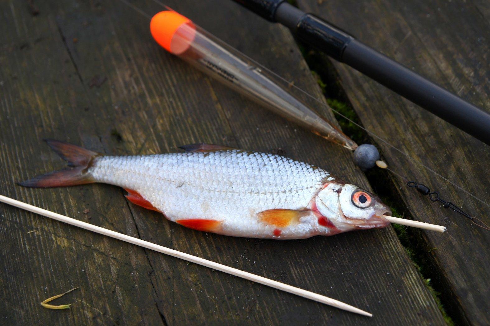 Köderfisch mit einem Schaschlikspieß versteifen