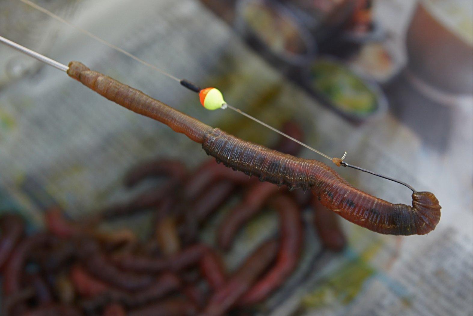 Wattwürmer mit der Wurmnadel aufziehen