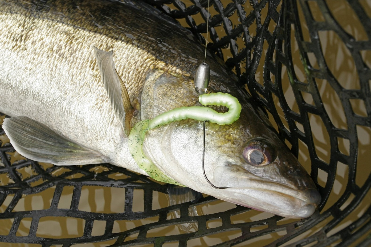 Zander auf Texas Rig mit Offset Hook