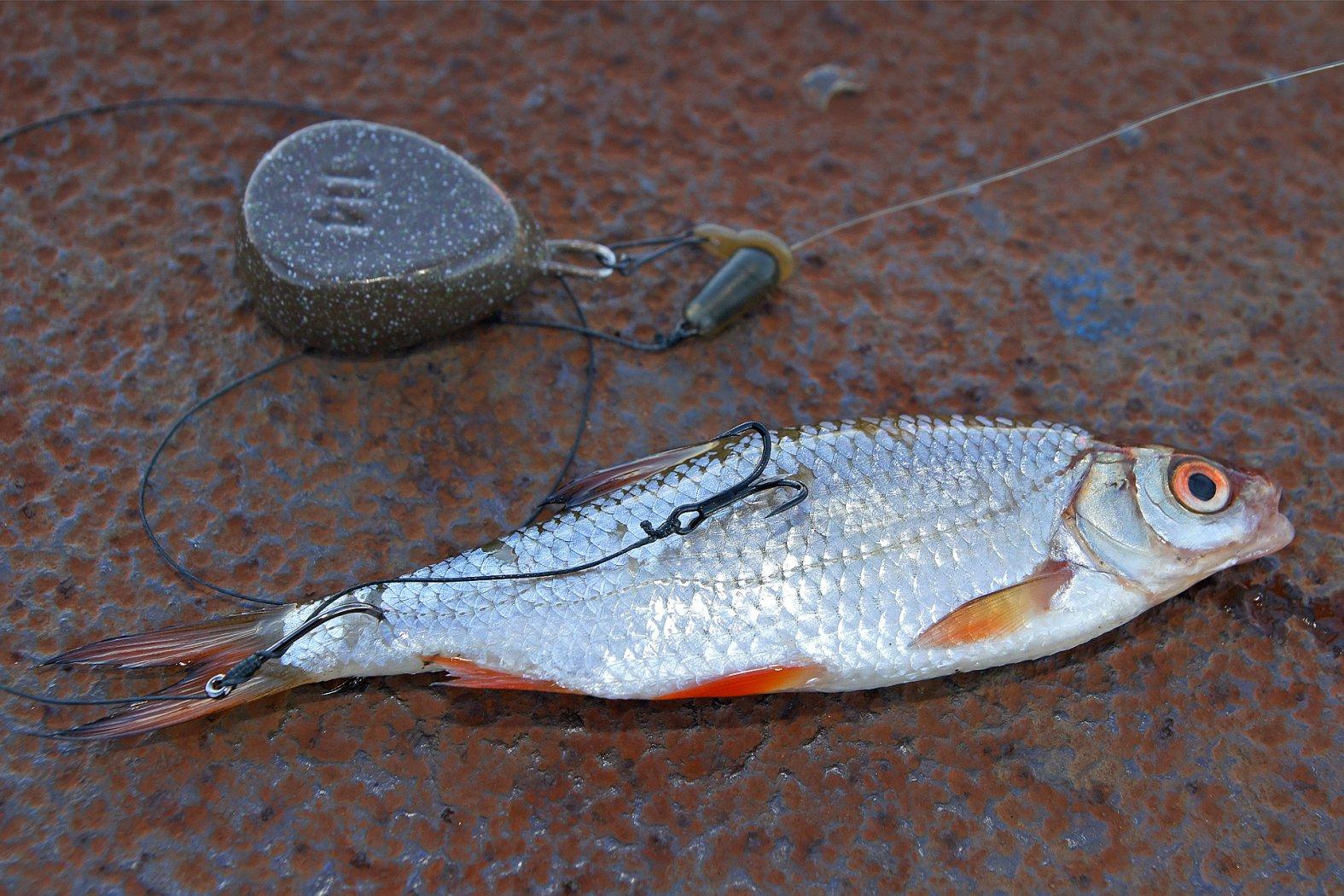 Köderfischmontage zum Zanderangeln