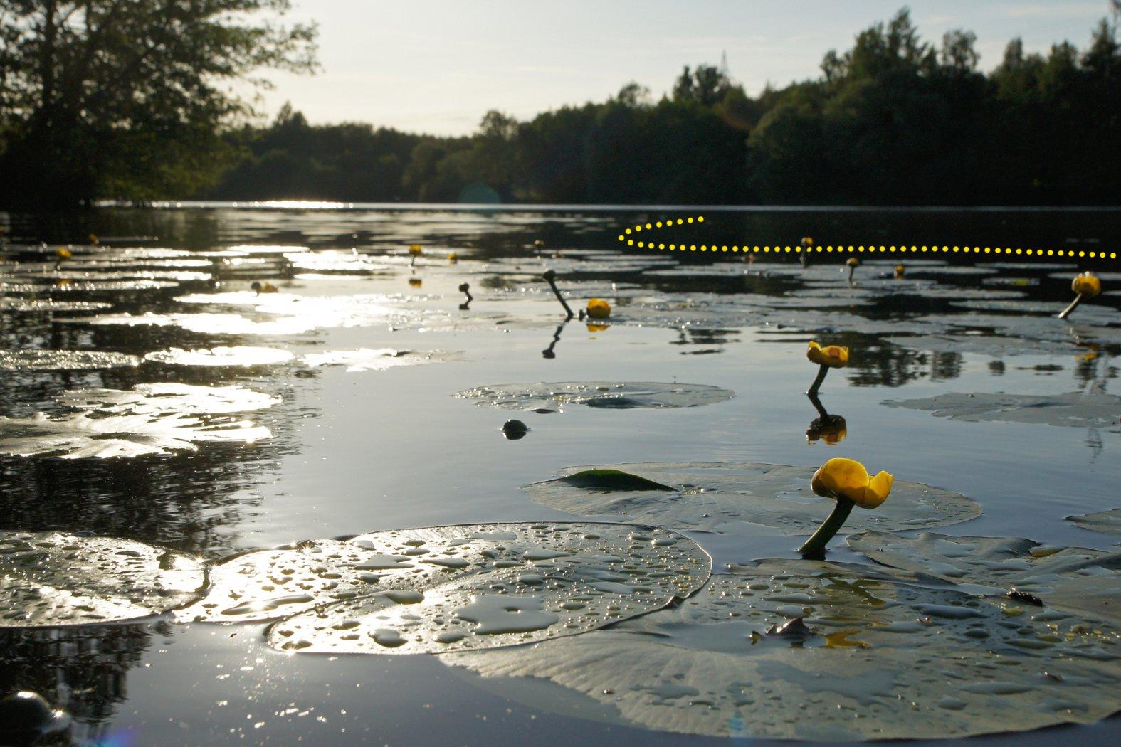 Karpfenangeln vor Seerosen