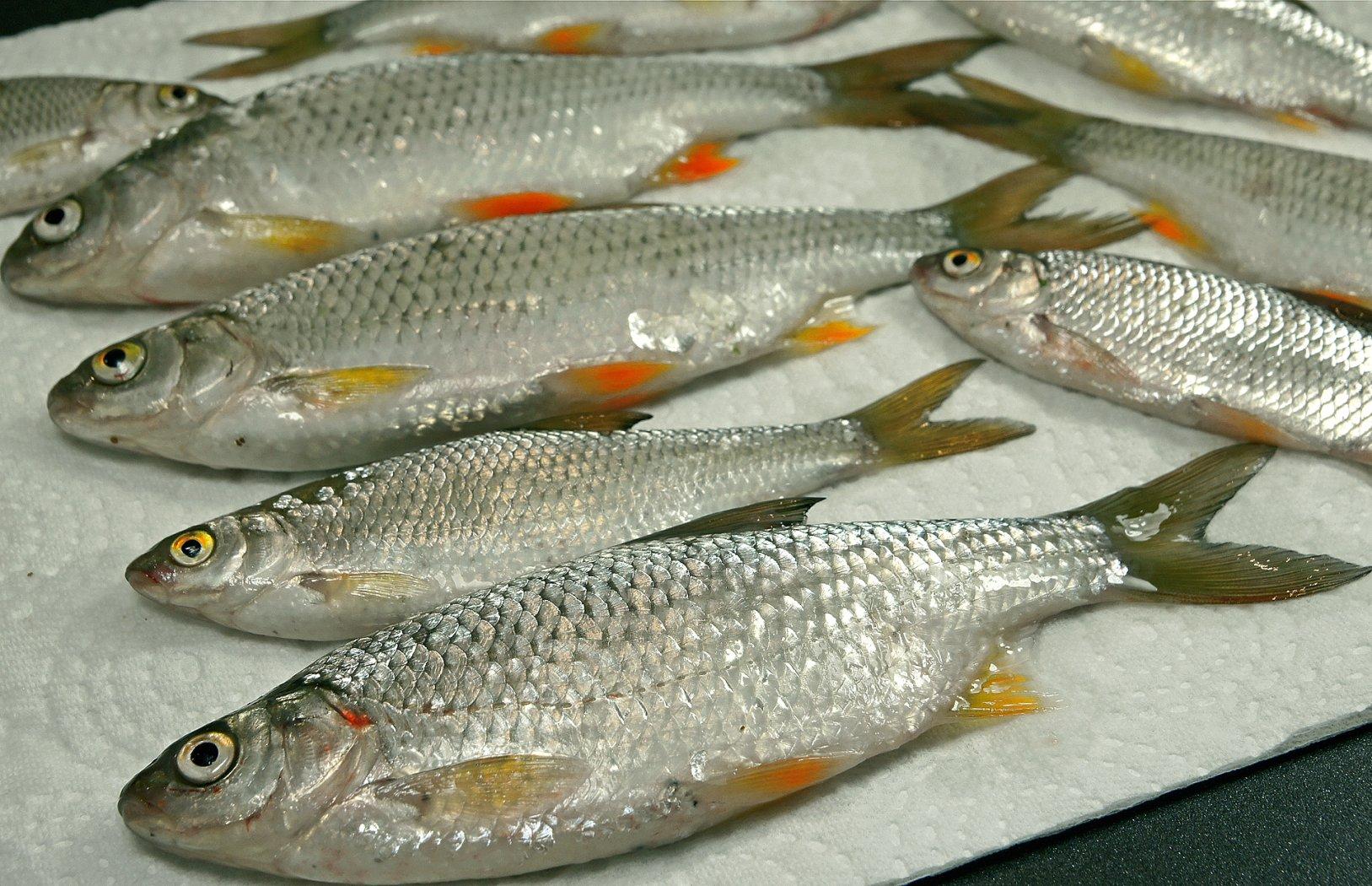 Köderfische zum Einfrieren vorbereiten