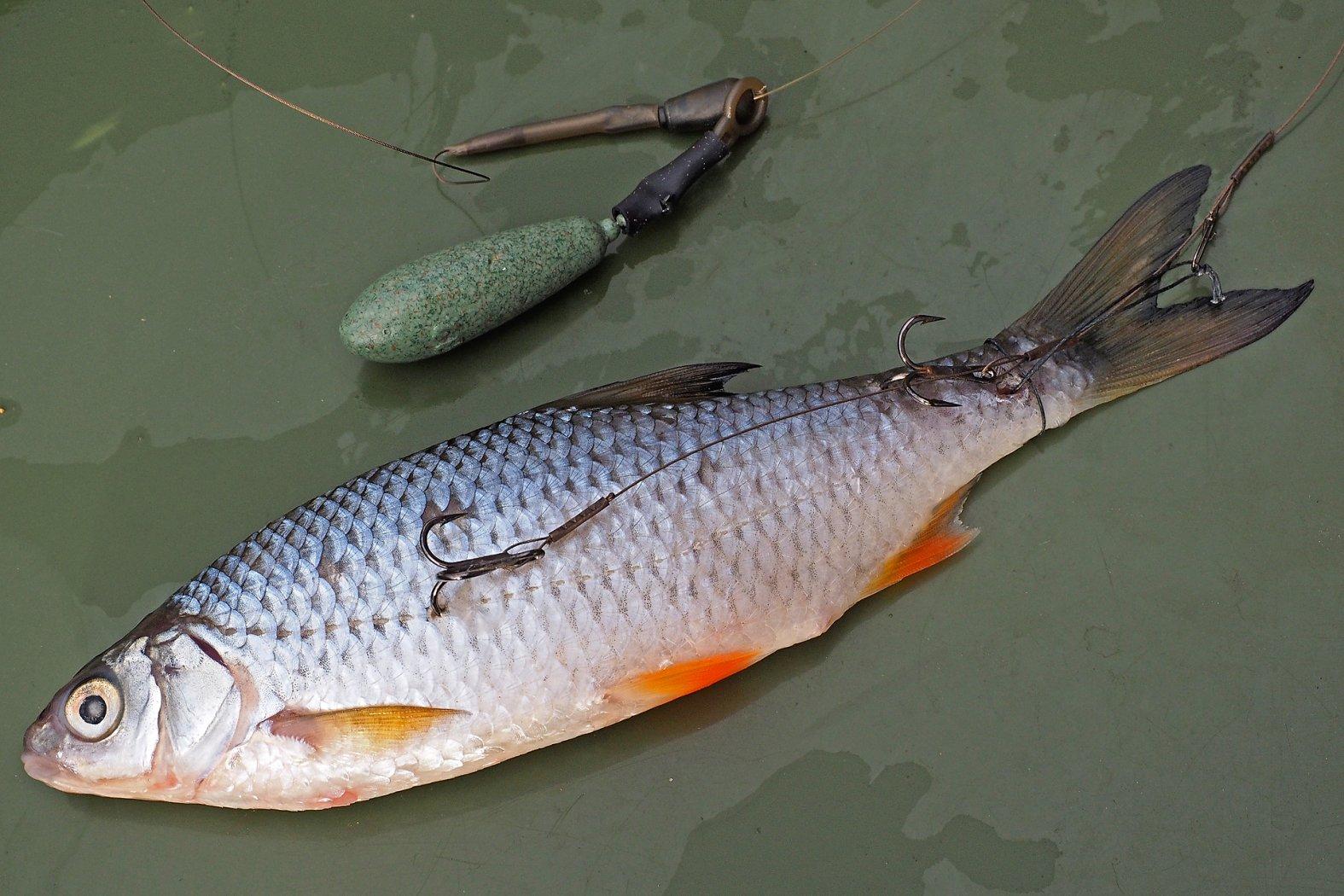 Köderfisch-Montage zum Grundangeln