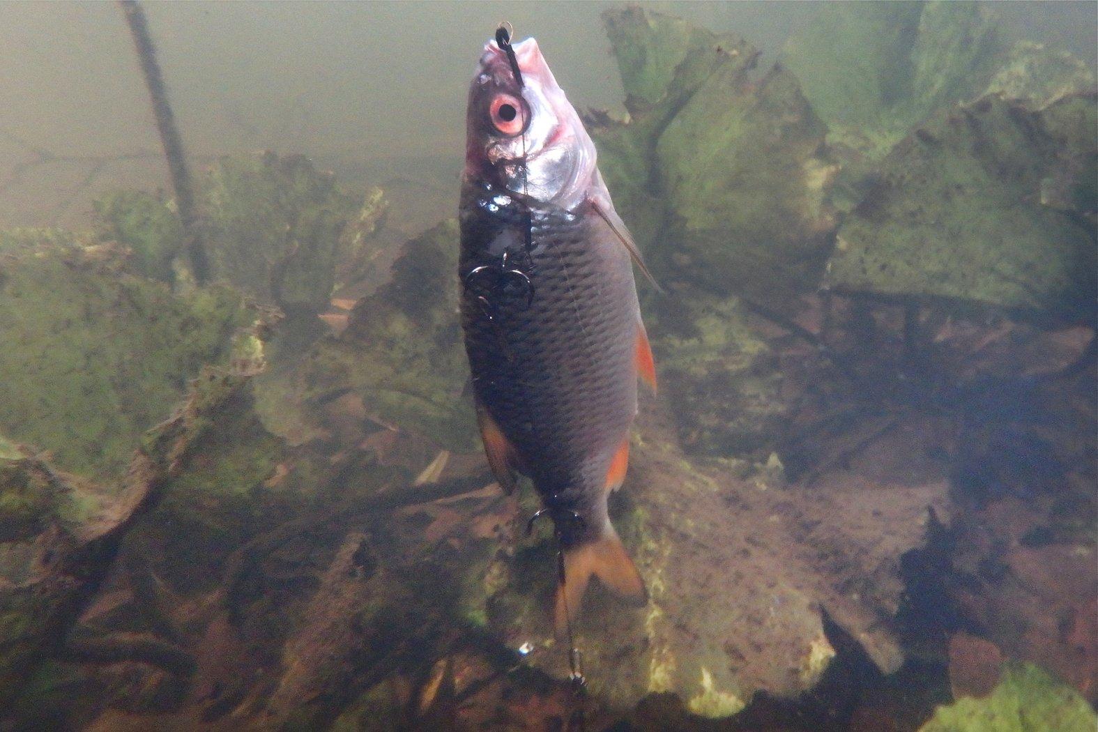 Auftreibender Köderfisch für Hecht