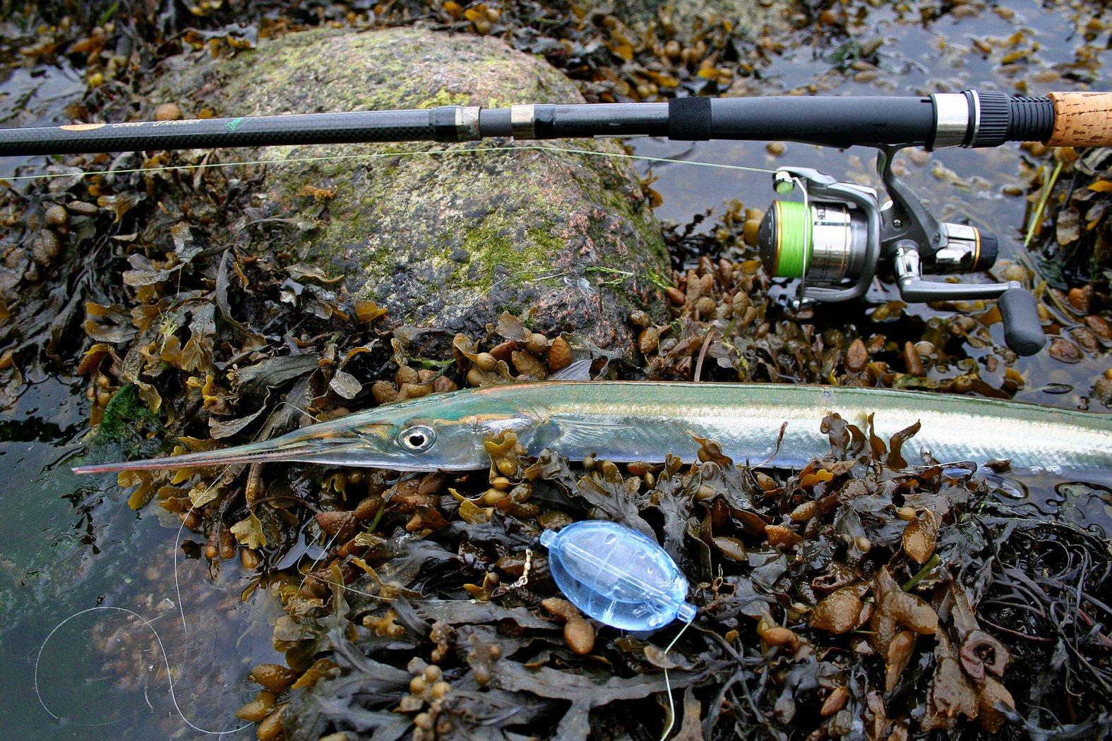 hornhecht angeln mit wasserkugel und fischfetzen