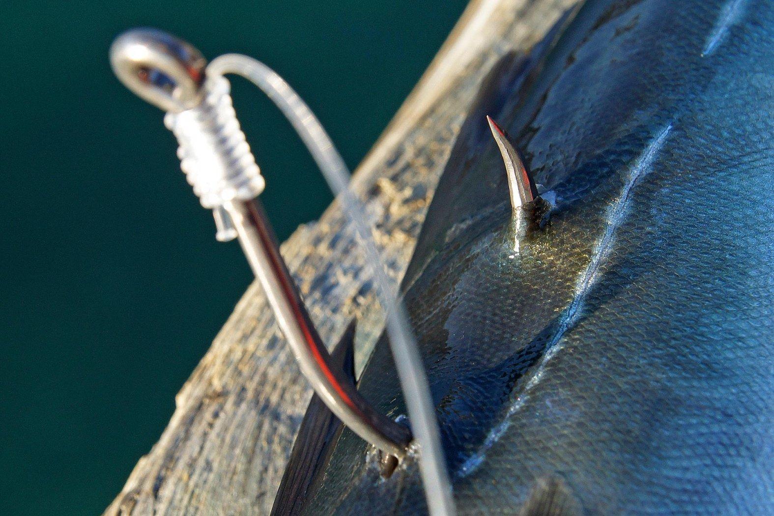 Köderfisch anködern