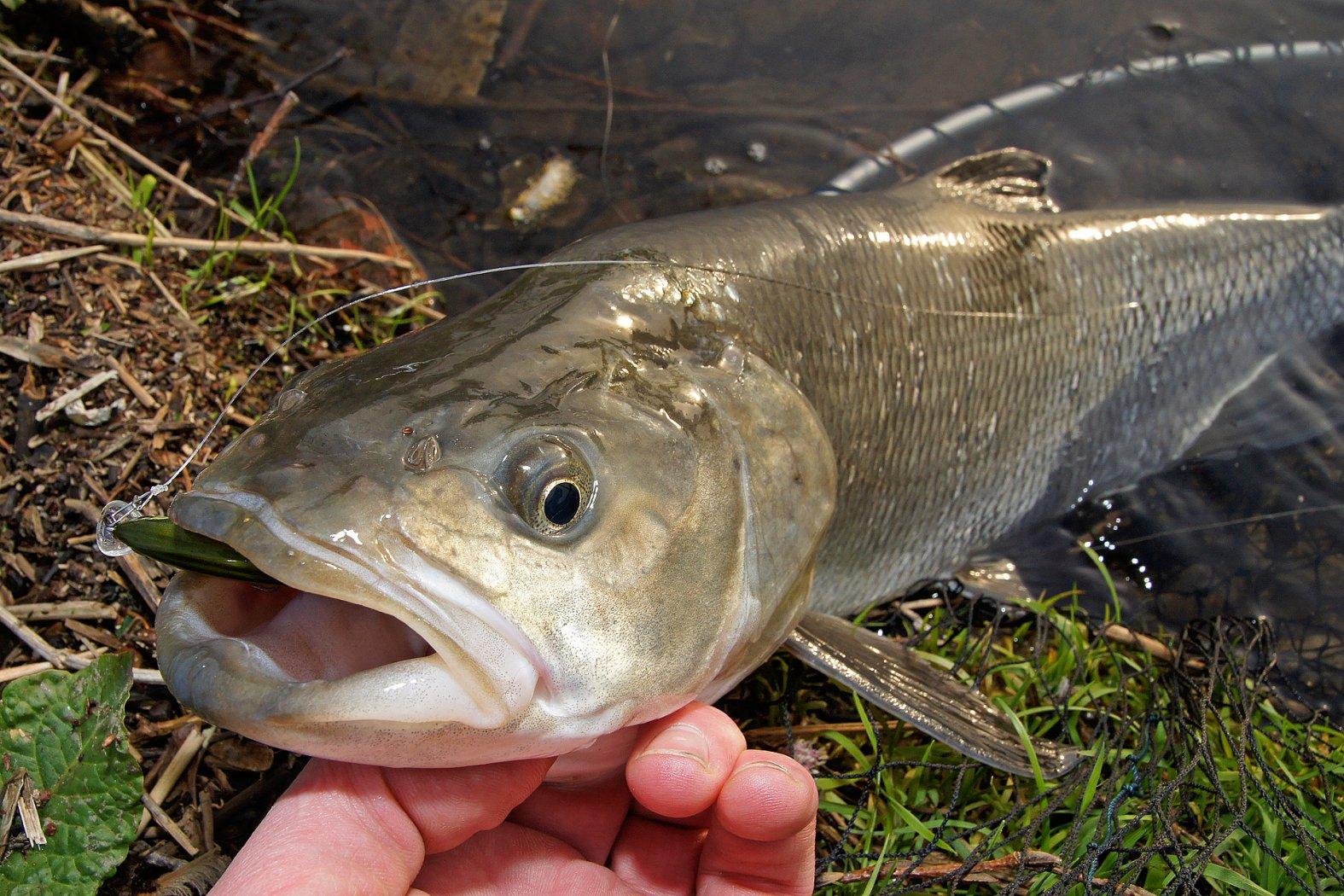 Rapfen angeln mit Wobbler