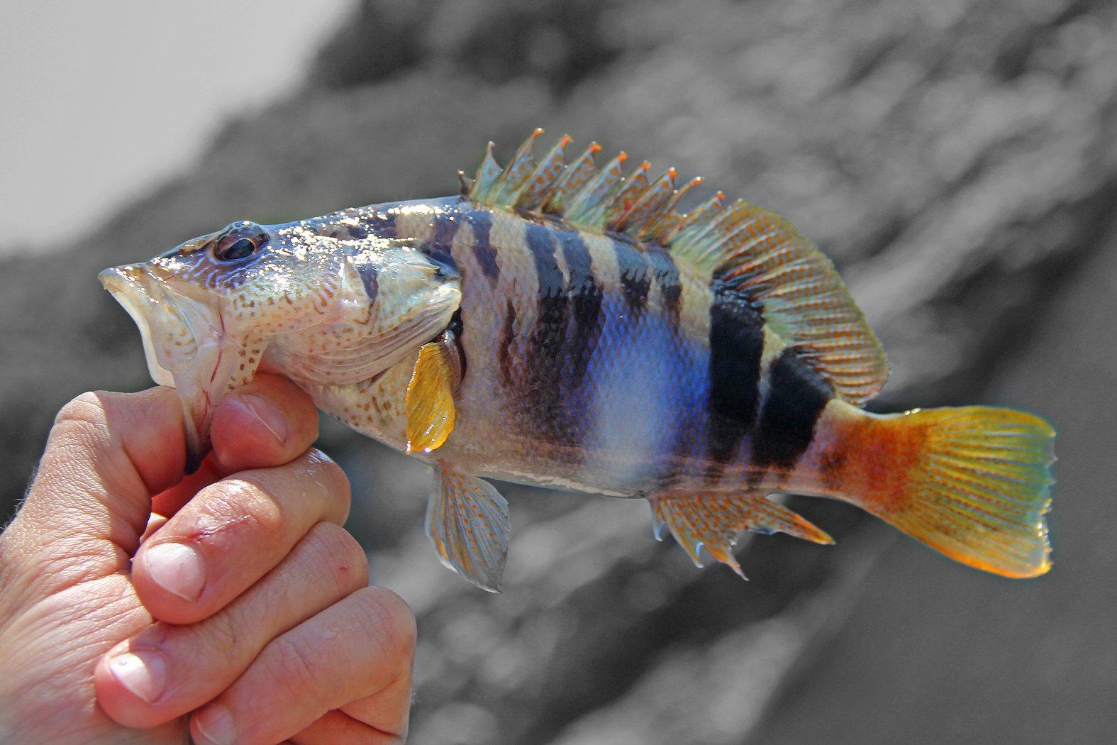 Schriftbarsch angeln im Mittelmeer