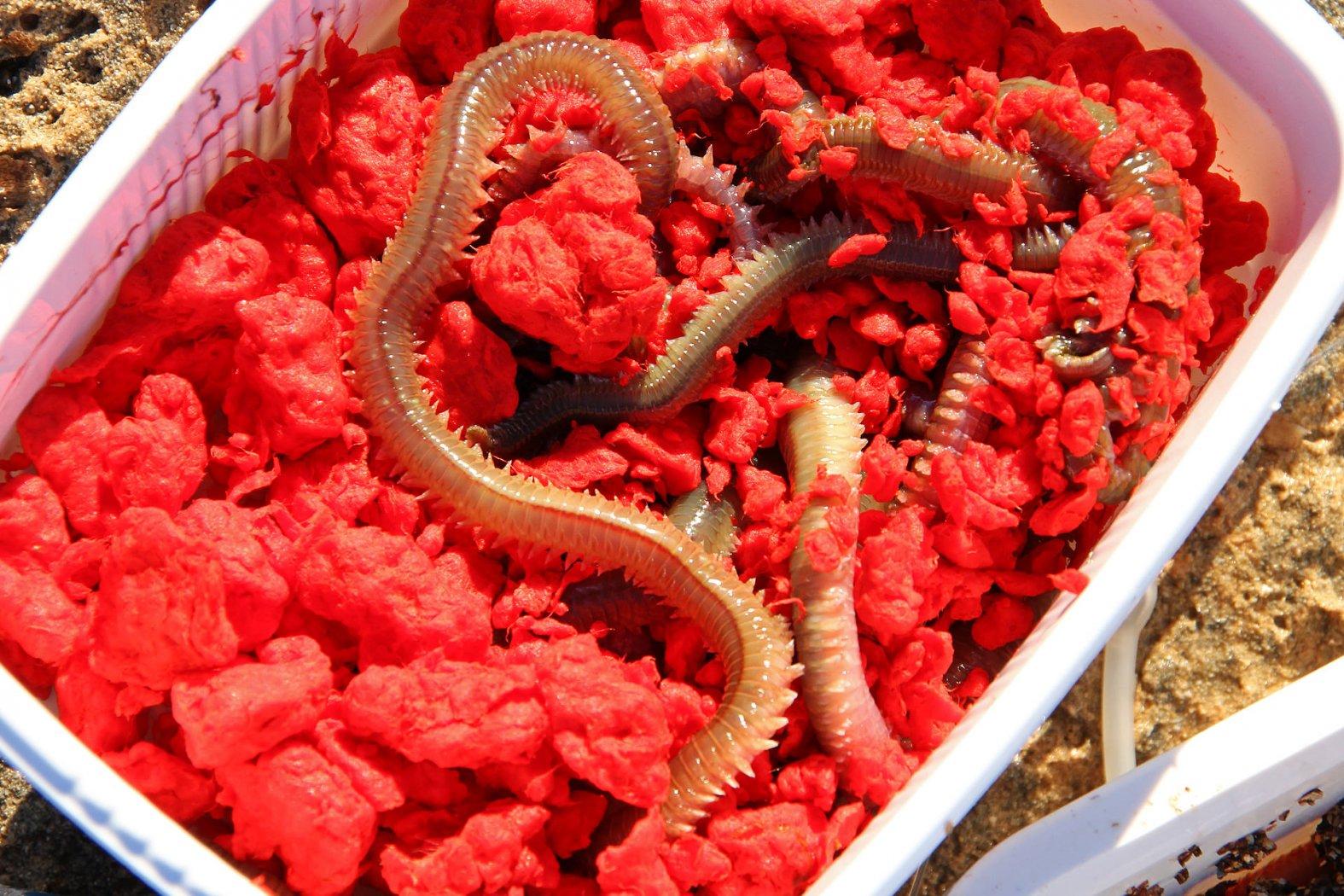 Seeringelwurm als Köder am Mittelmeer