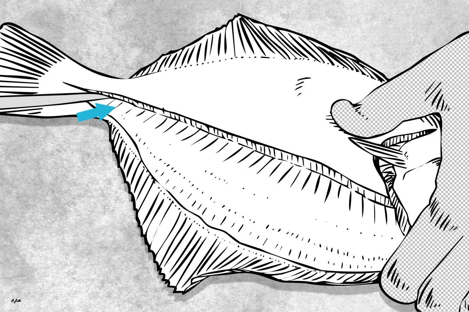 plattfisch sauber filetieren