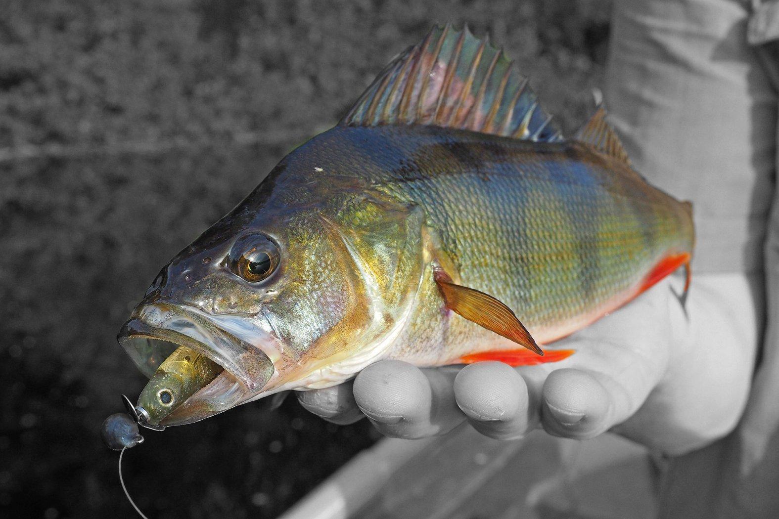 Fish Arrow Wheel Head auf Barsch