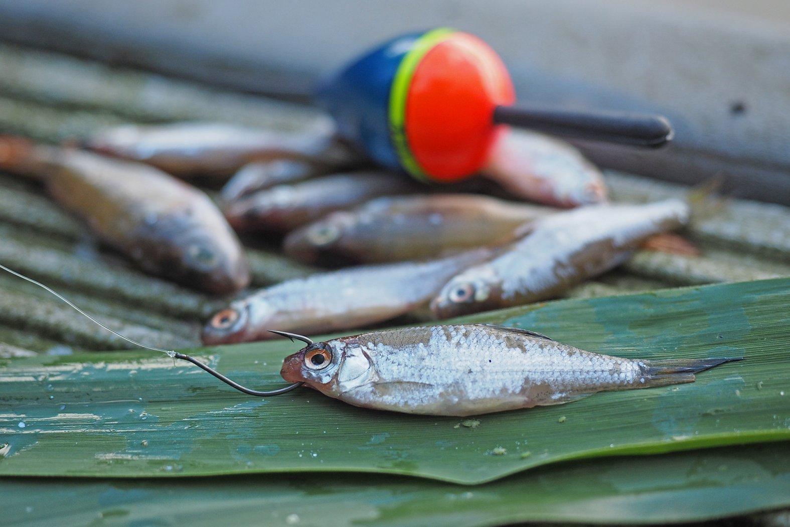 Angeln mit Köderfisch auf Barsch