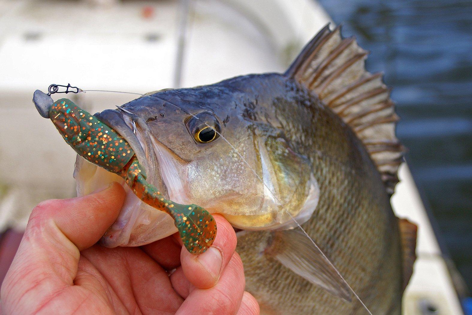 Barsch angeln mit Gummifisch