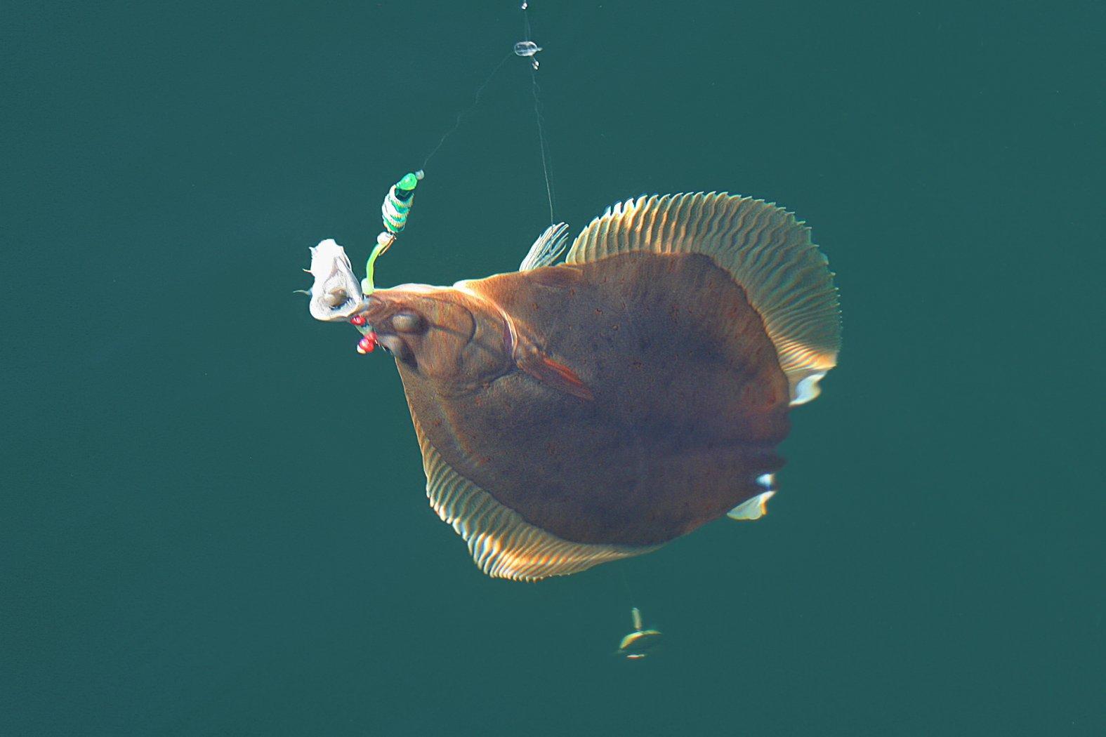 kliesche beim angeln mit buttlöffel