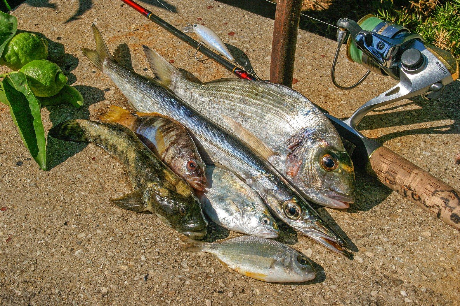 Dorade angeln am Mittelmeer