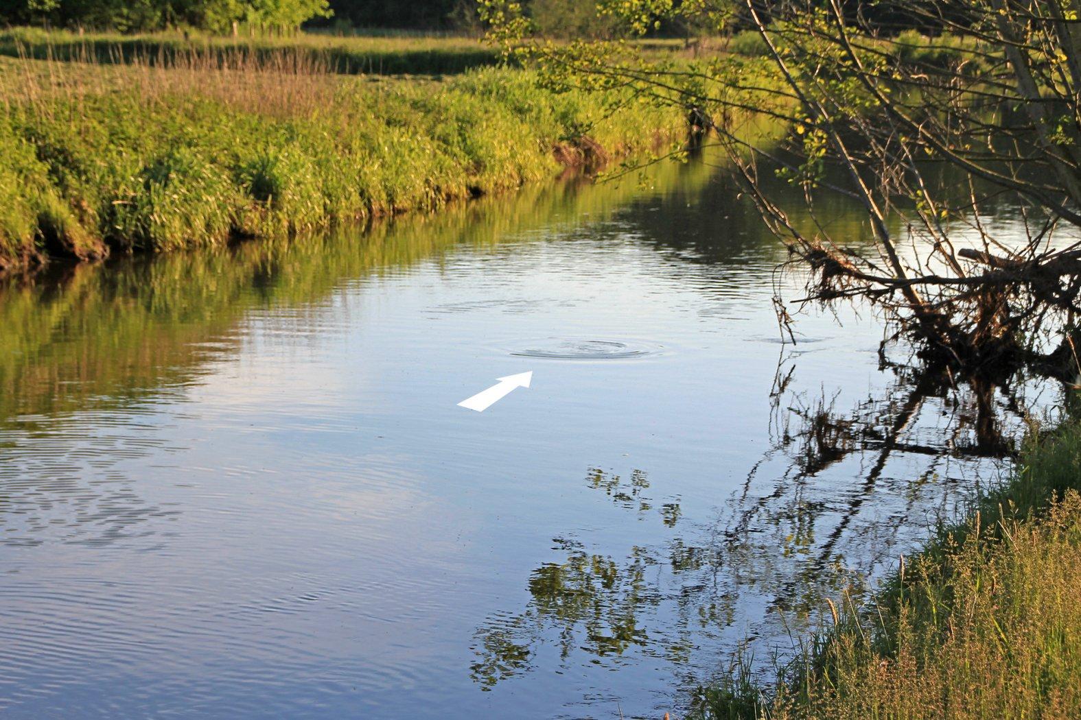 Steigende Fische im Fluss