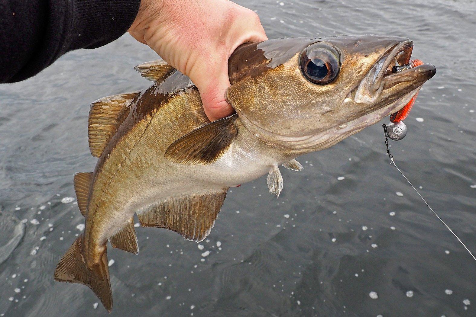 Fischen in Norwegen auf Pollack