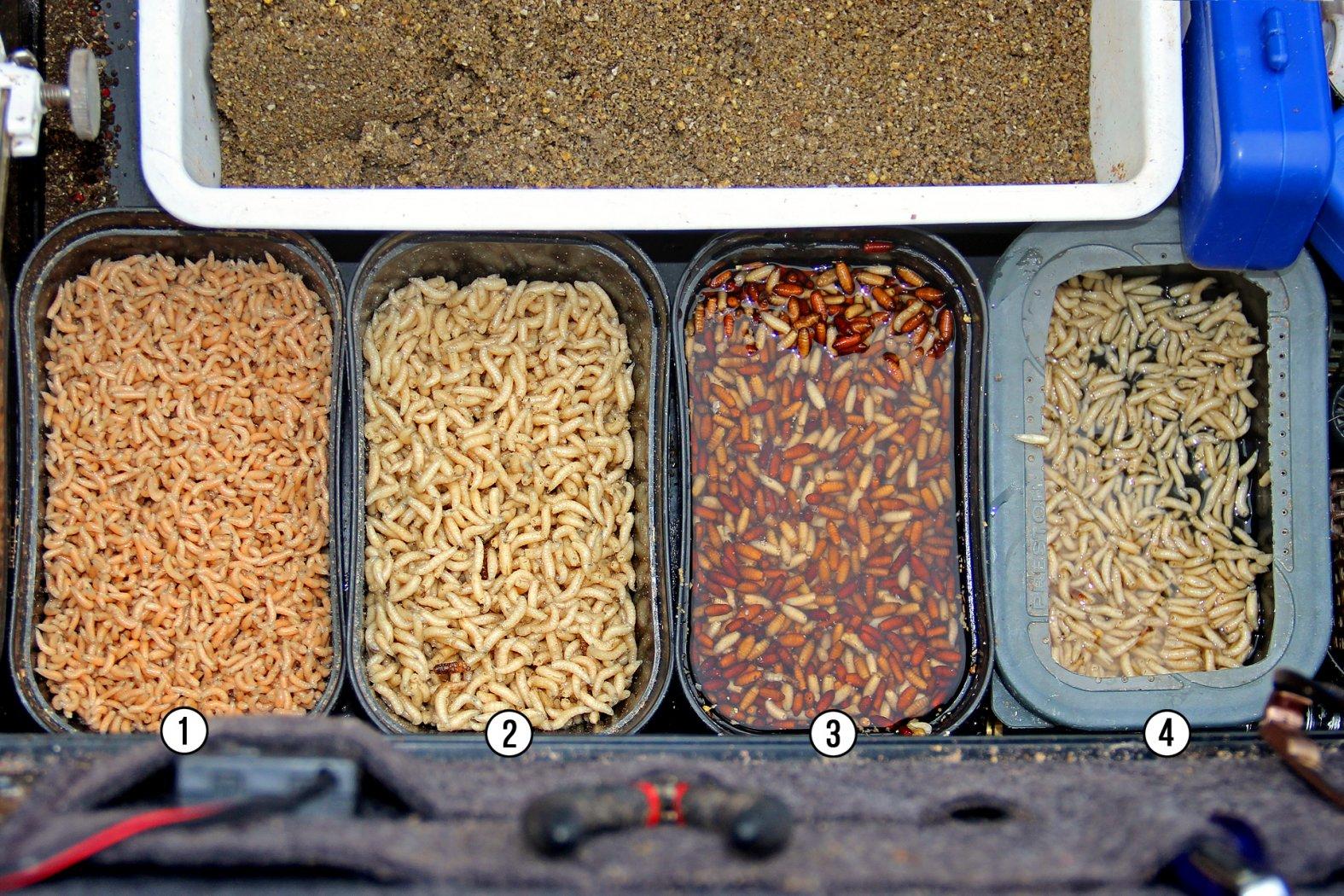 Rotaugen Köder beim Feederangeln: Maden