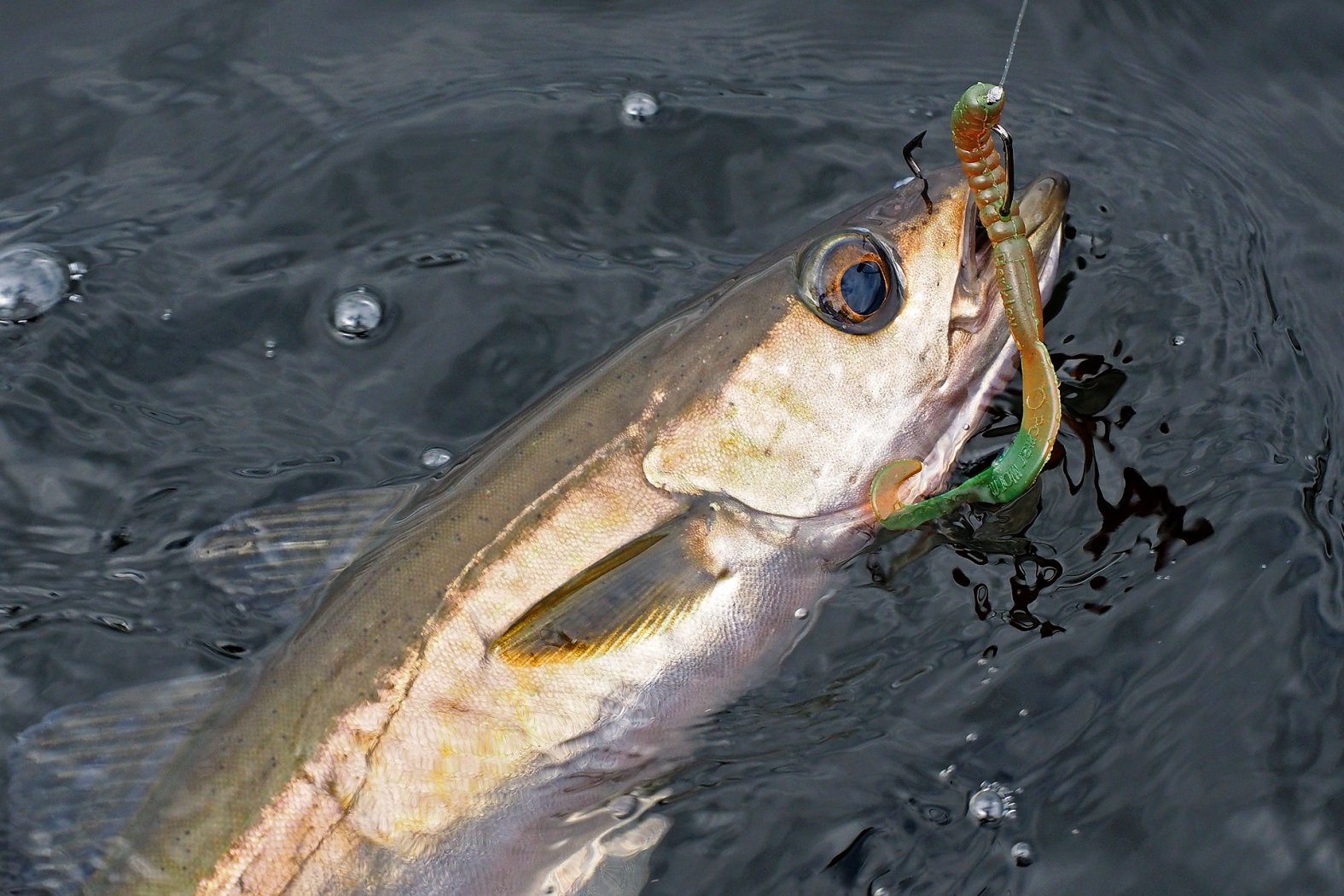Pollack angeln mit Gummiwurm und Offset-Haken