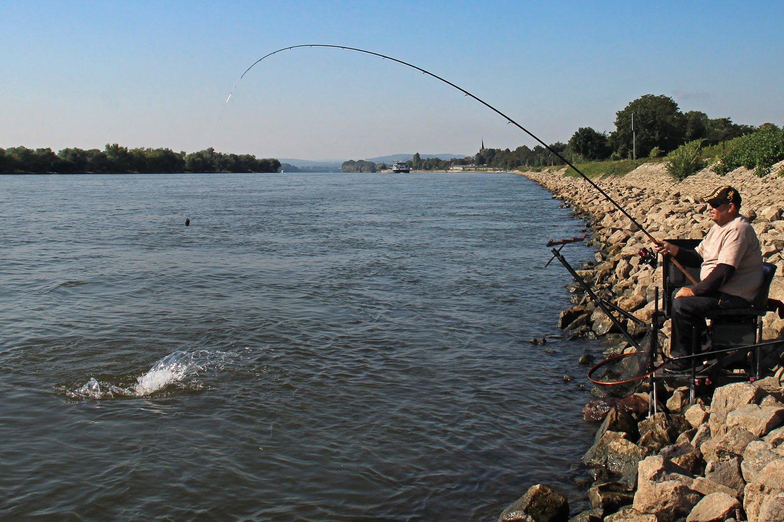 Feederangeln auf Barbe am Rhein
