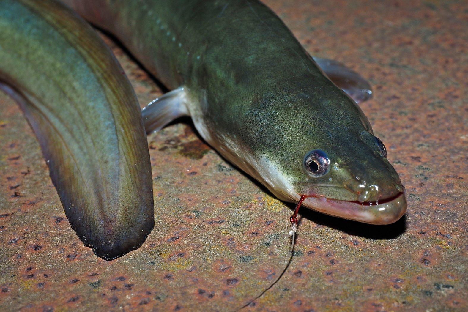 Hakengröße für Aal