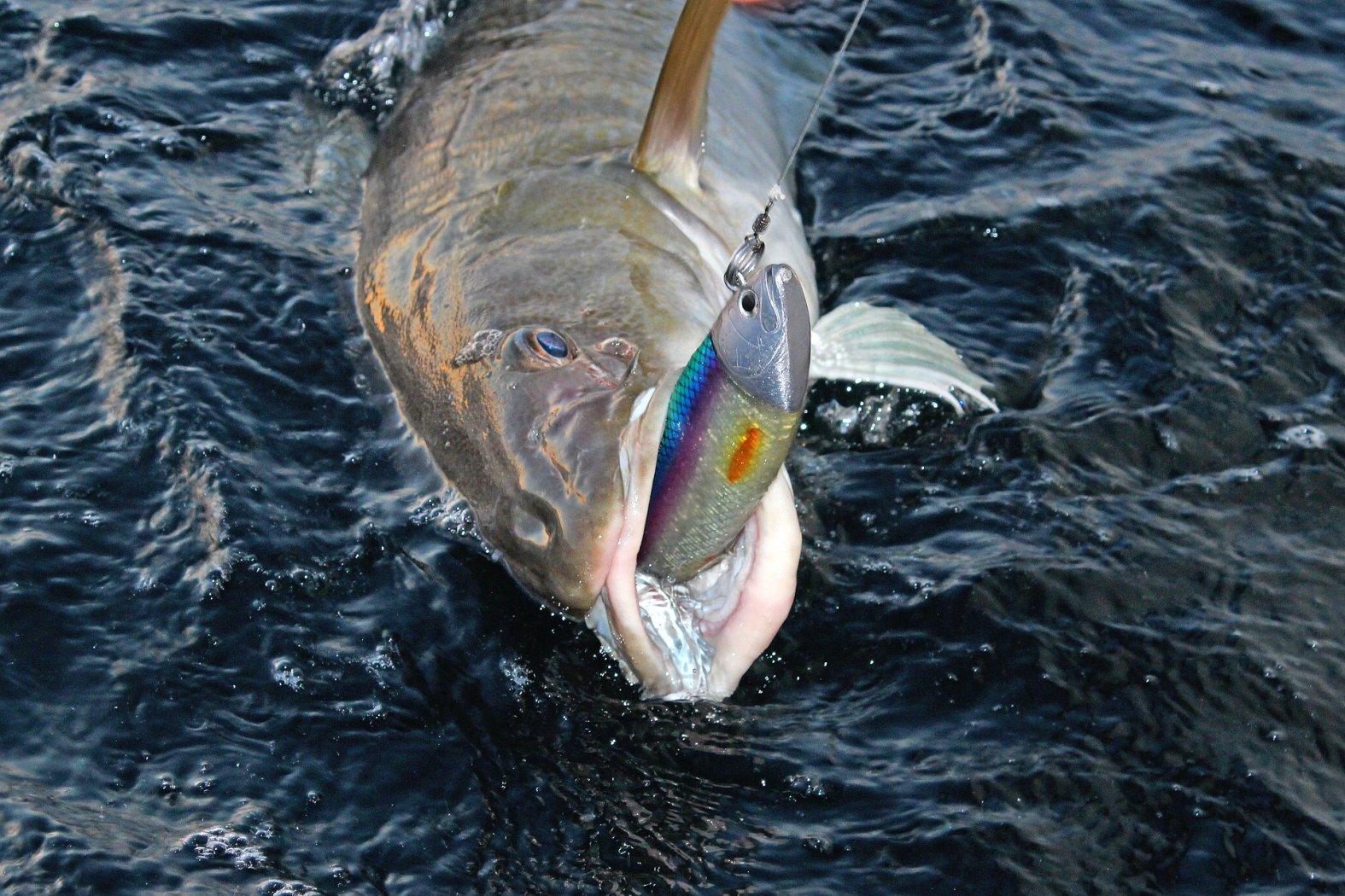 Dorsche angeln mit Gummifisch