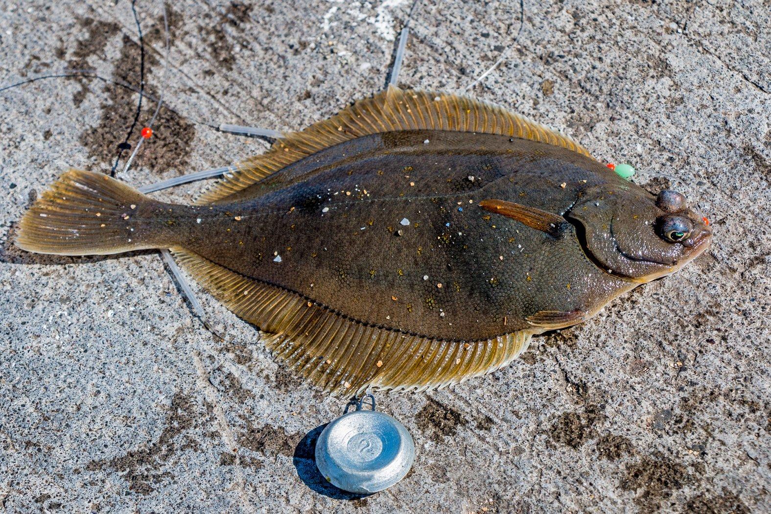 Plattfische angeln in Island