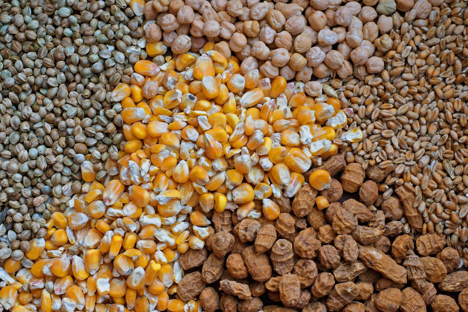 Angeln mit Kichererbsen, Mais, Tigernüssen, Hanf und Weizen