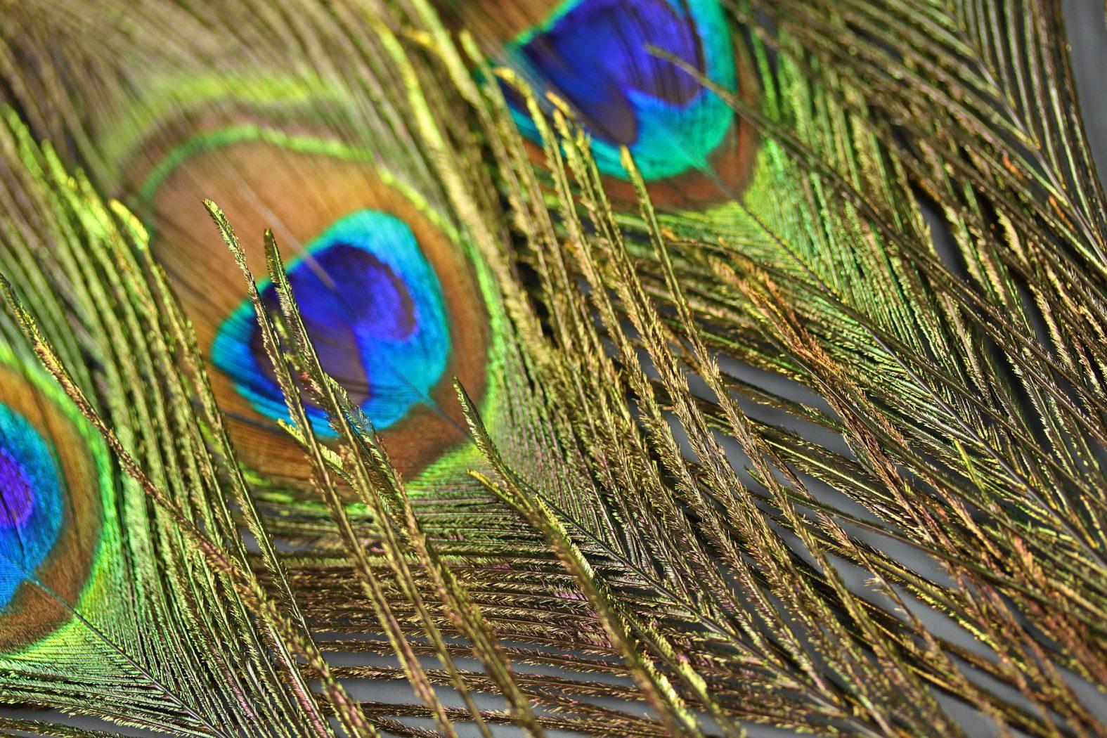 Pfauenfeder als Bindematerial für Peacock Hearl Nymph