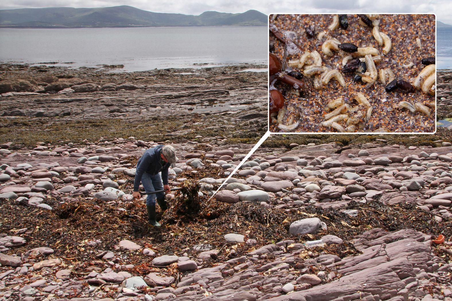 Meeräschen angeln mit Tangfliegen-Maden