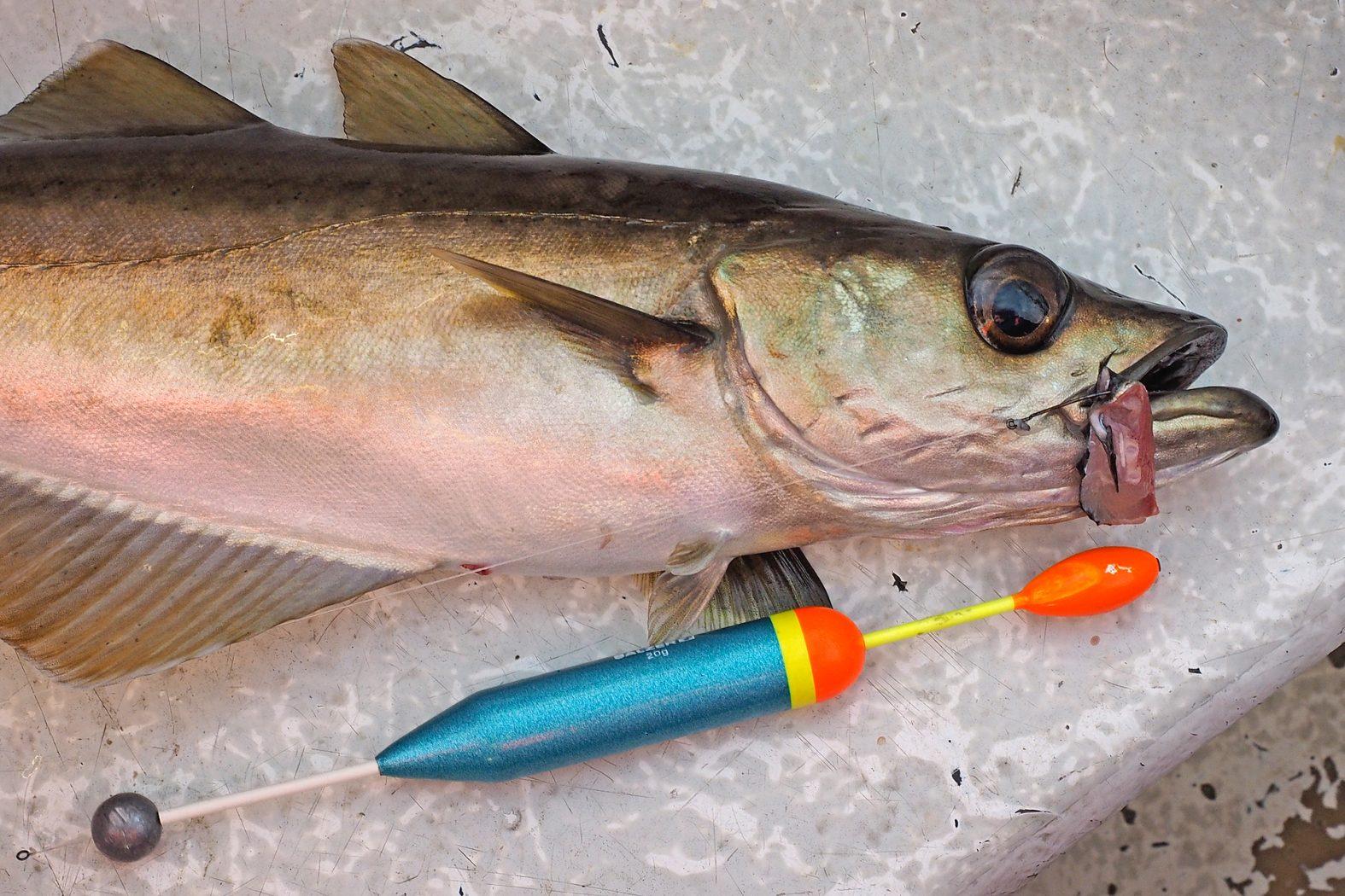 Posenfischen auf Pollack