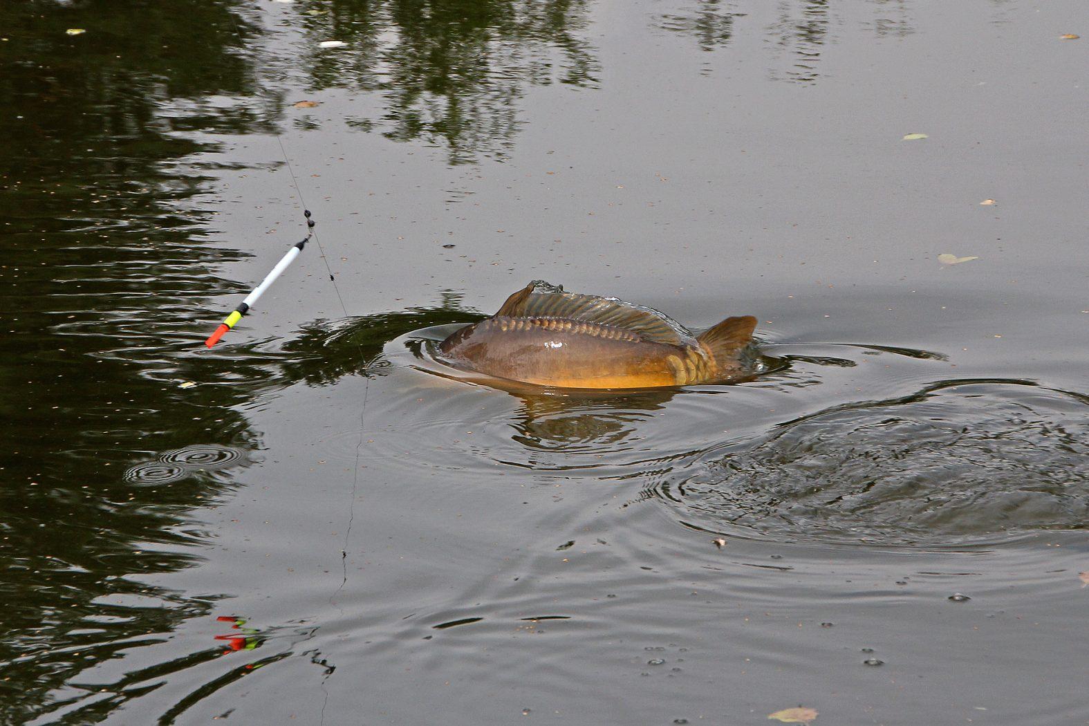 Karpfen mit Pose angeln