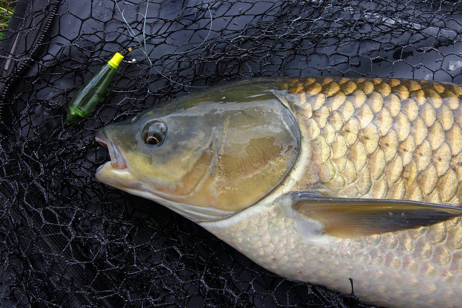 Graskarpfen angeln an der Oberfläche