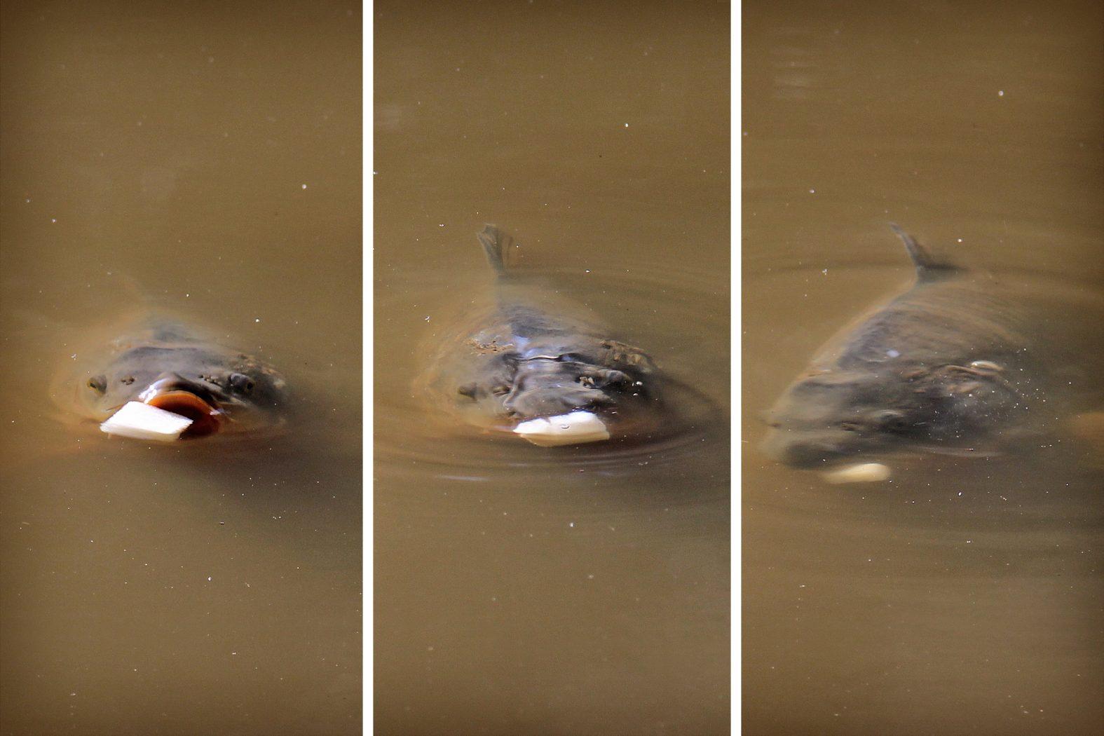 Karpfen fangen mit Schwimmbrot