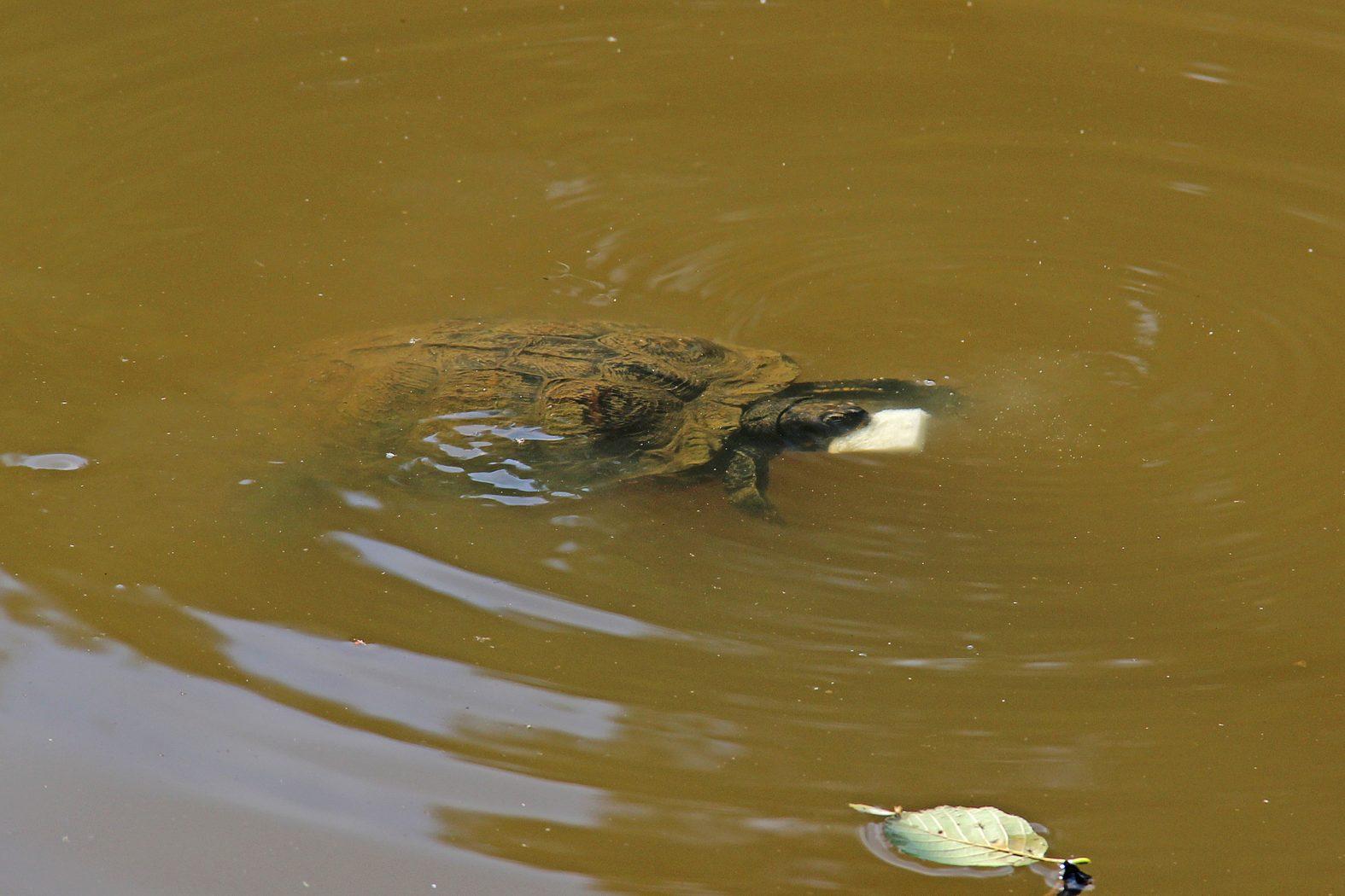 Schildkröte frisst Schwimmbrot