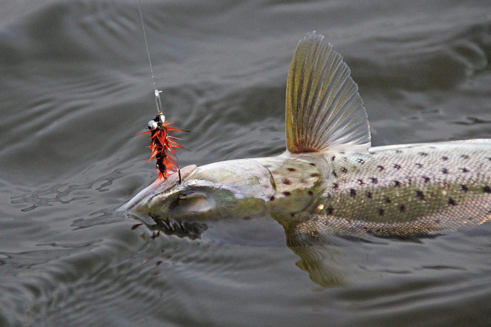 Fliegenfischen auf Meerforelle am Mariagerfjord