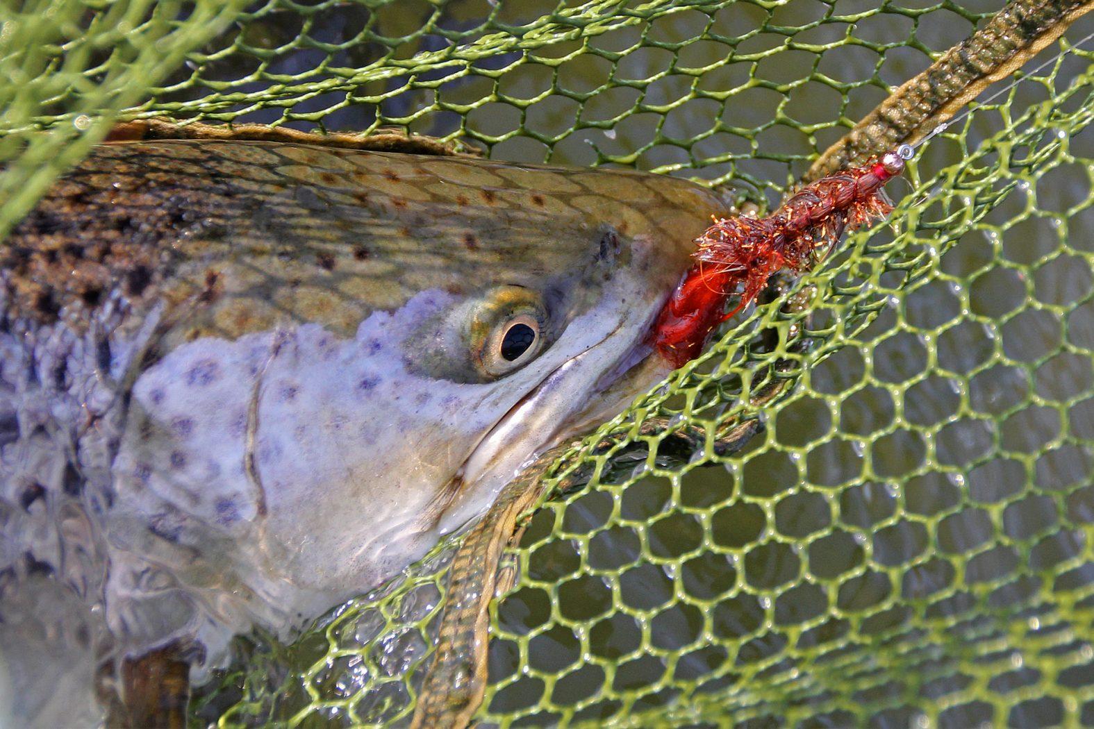 Seeringelwurm-Fliege zum Meerforellenangeln