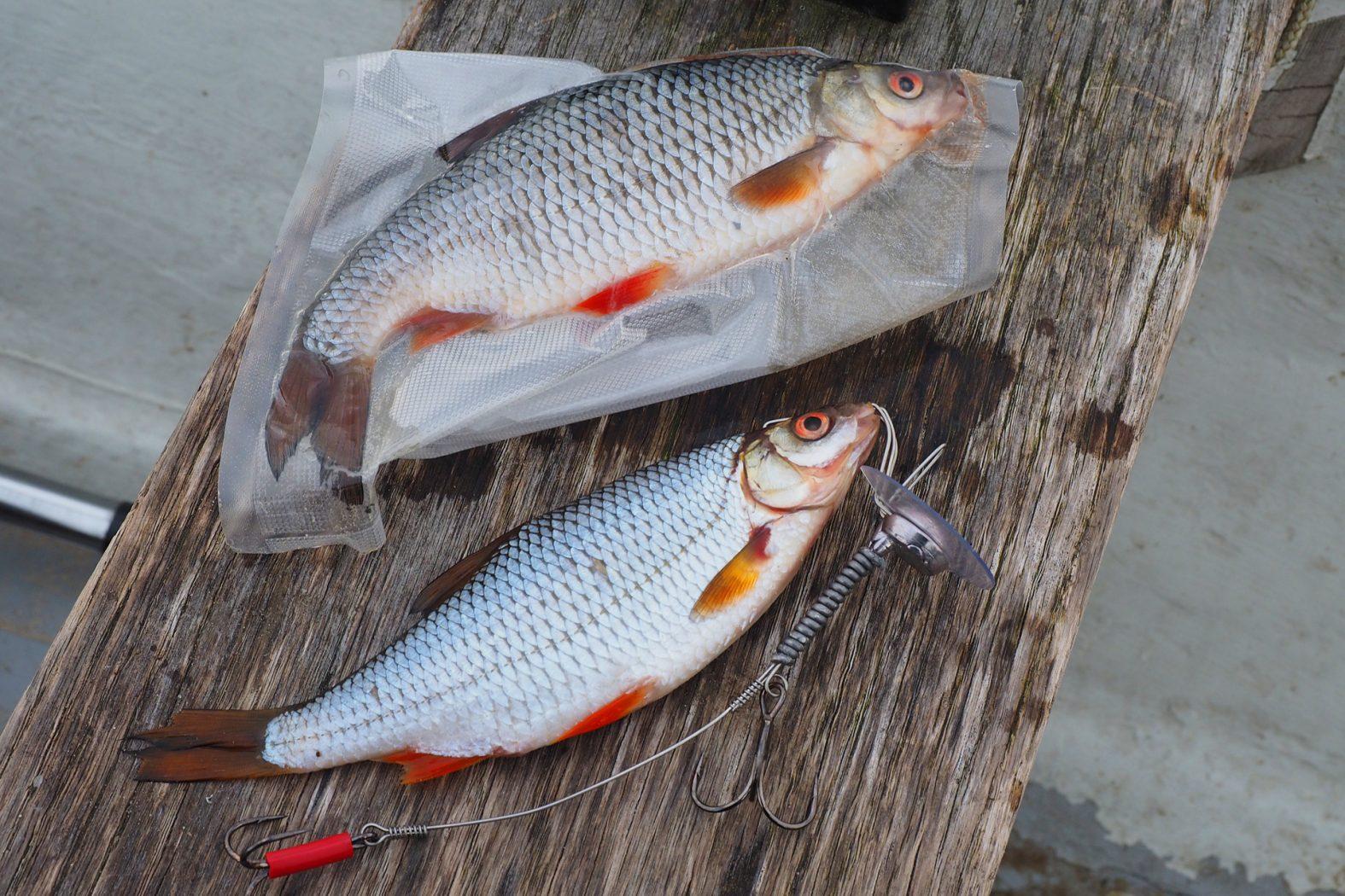 Köderfisch am Schleppsystem