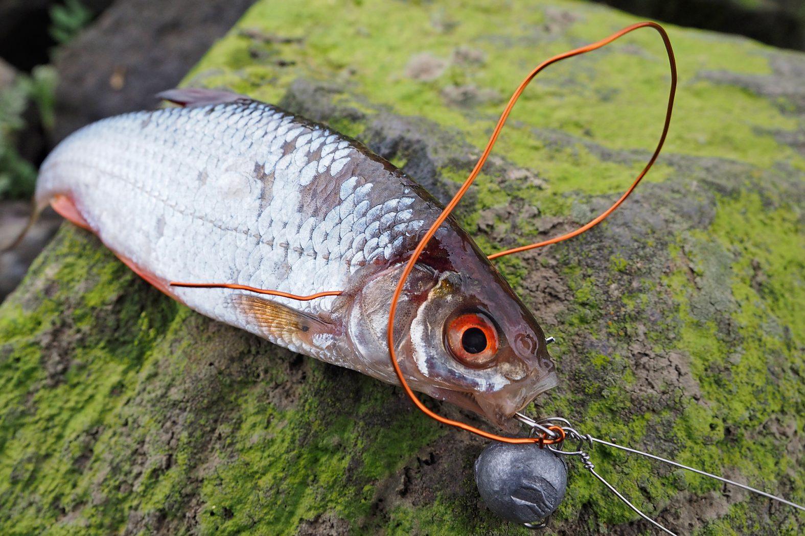 Köderfisch am System befestigen