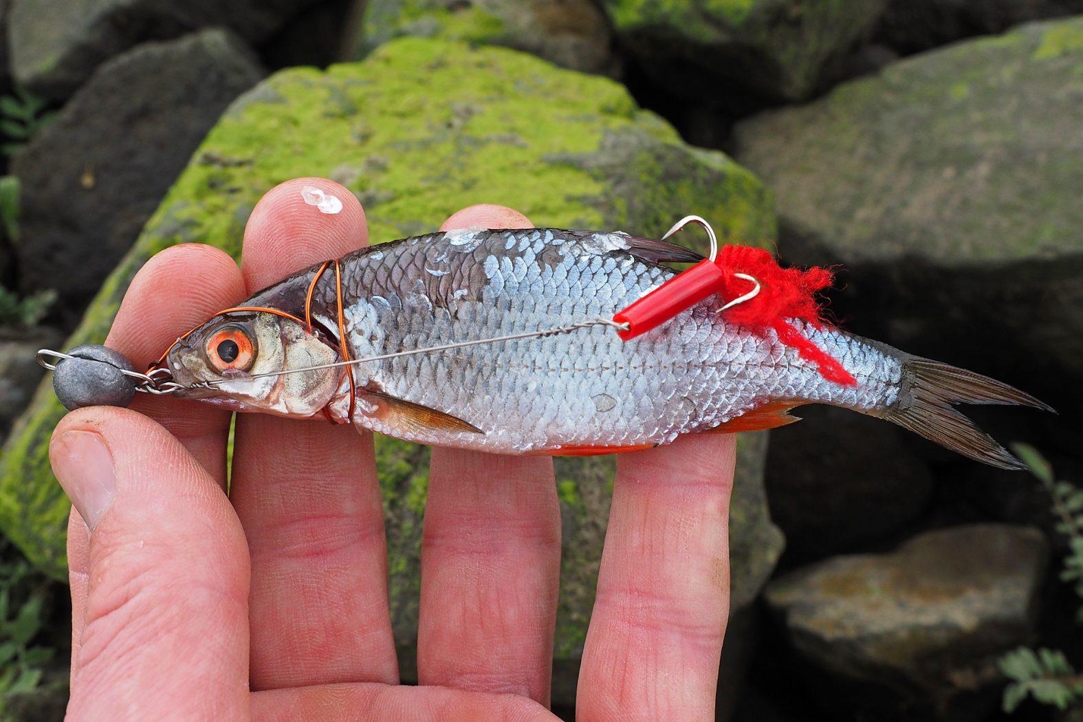 Zanderangeln mit Köderfischsystem