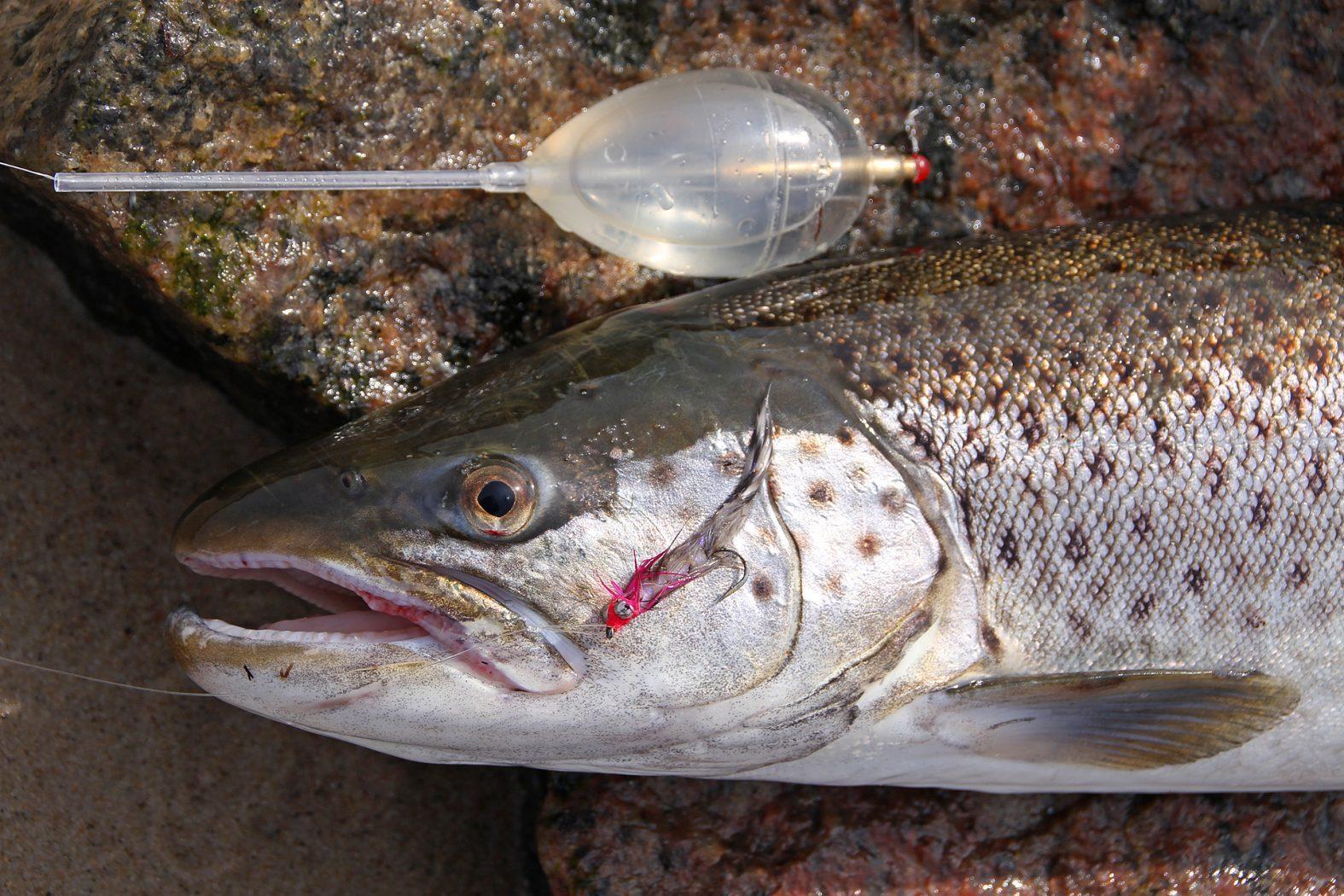 Mit Sbirolino und Fliege auf Meerforelle angeln