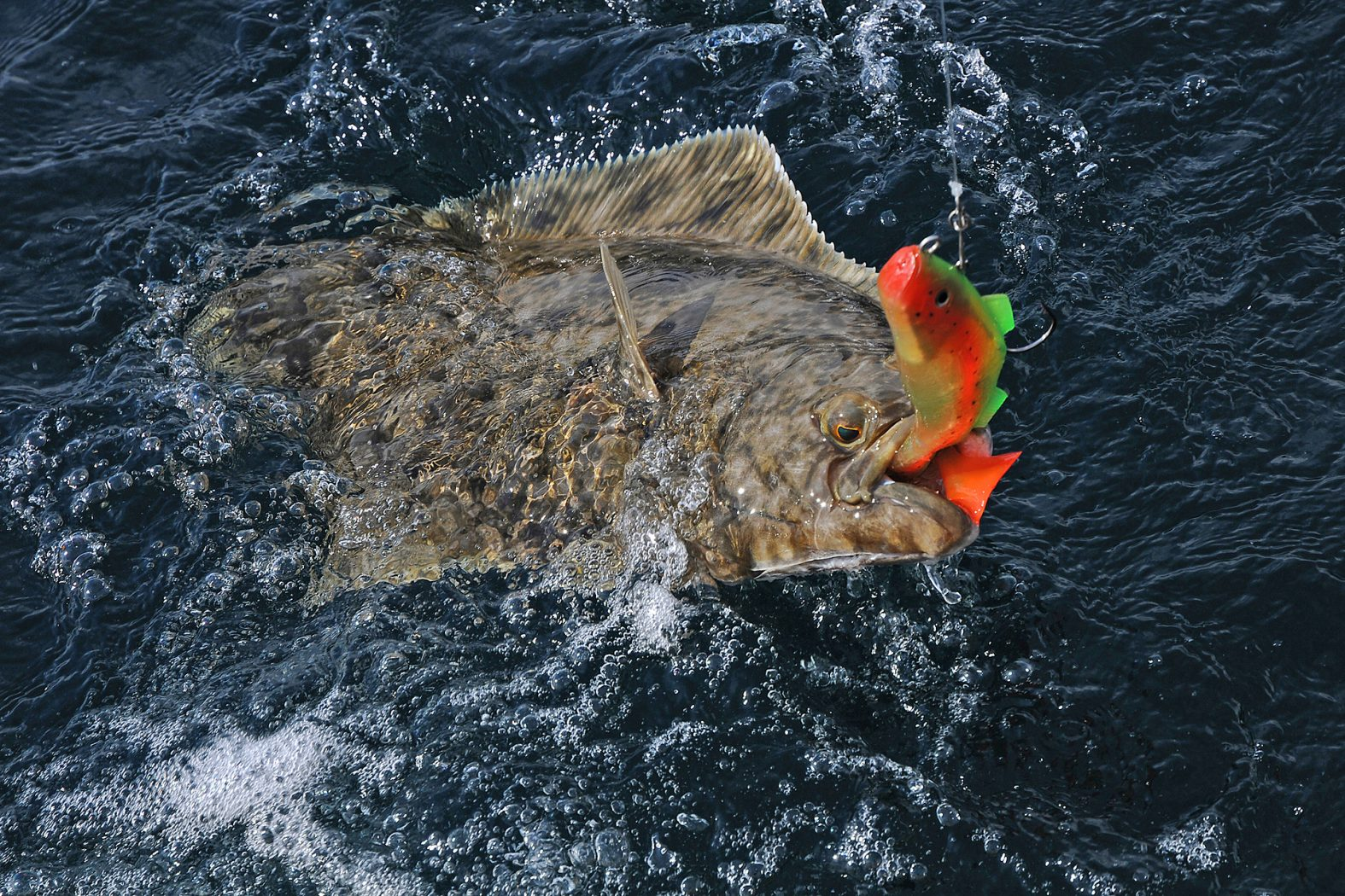 Heilbutt angeln vor Hitra