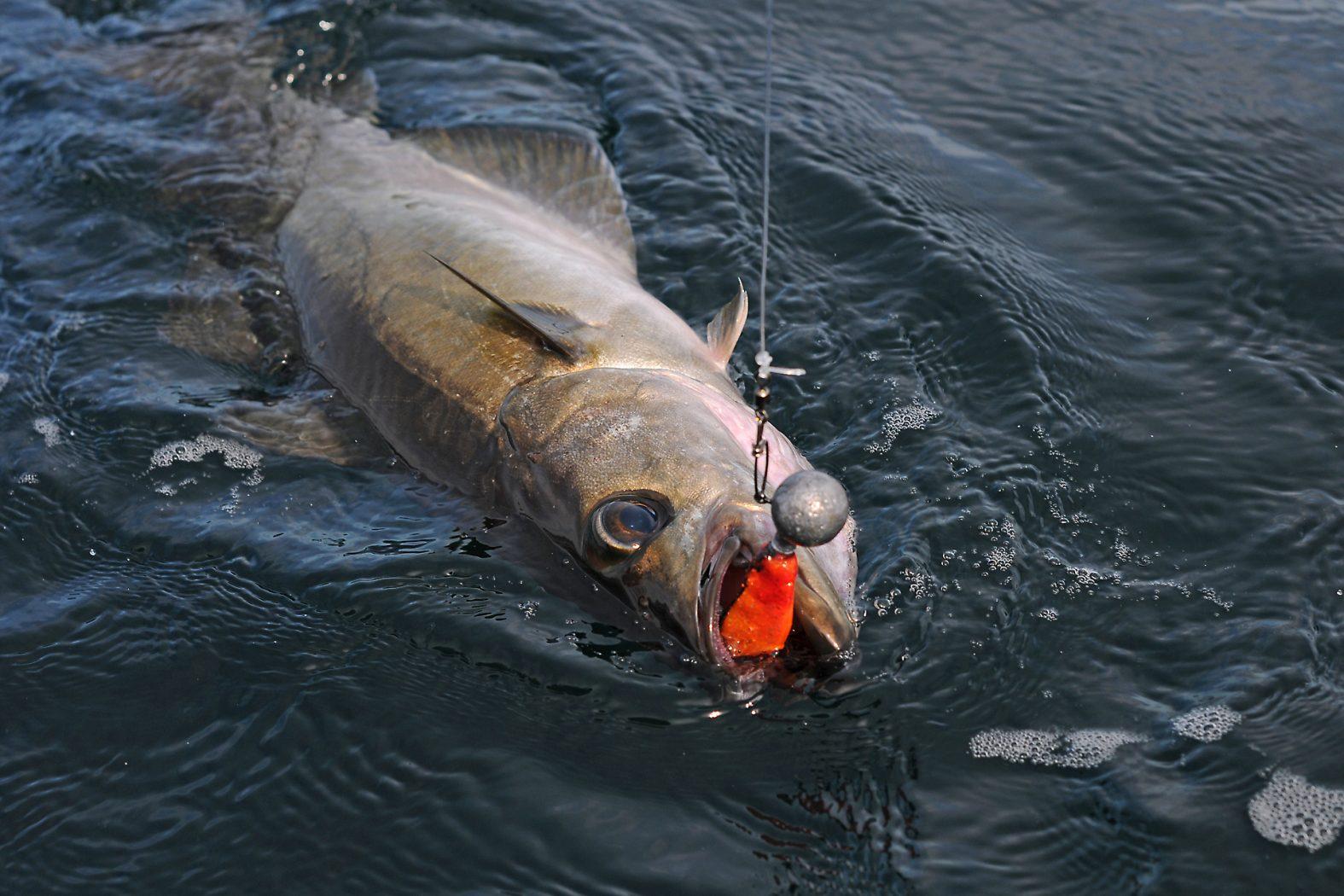 Pollack angeln auf Hitra