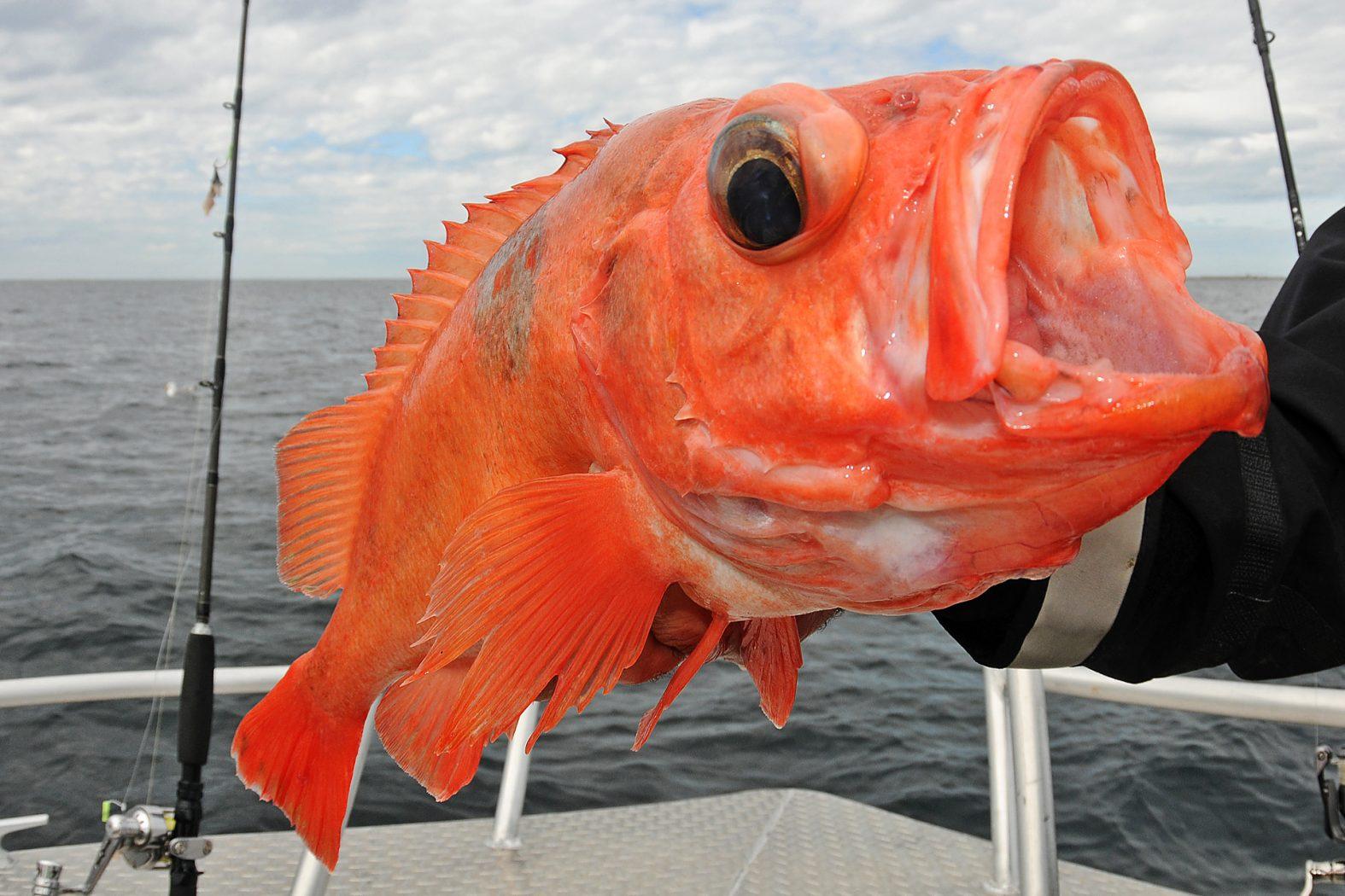 Rotbarsch angeln auf Hitra