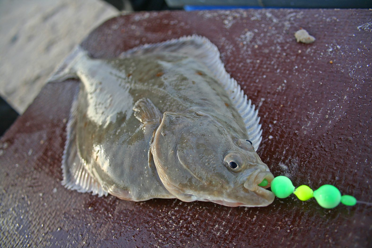 Plattfisch angeln in Dänemark