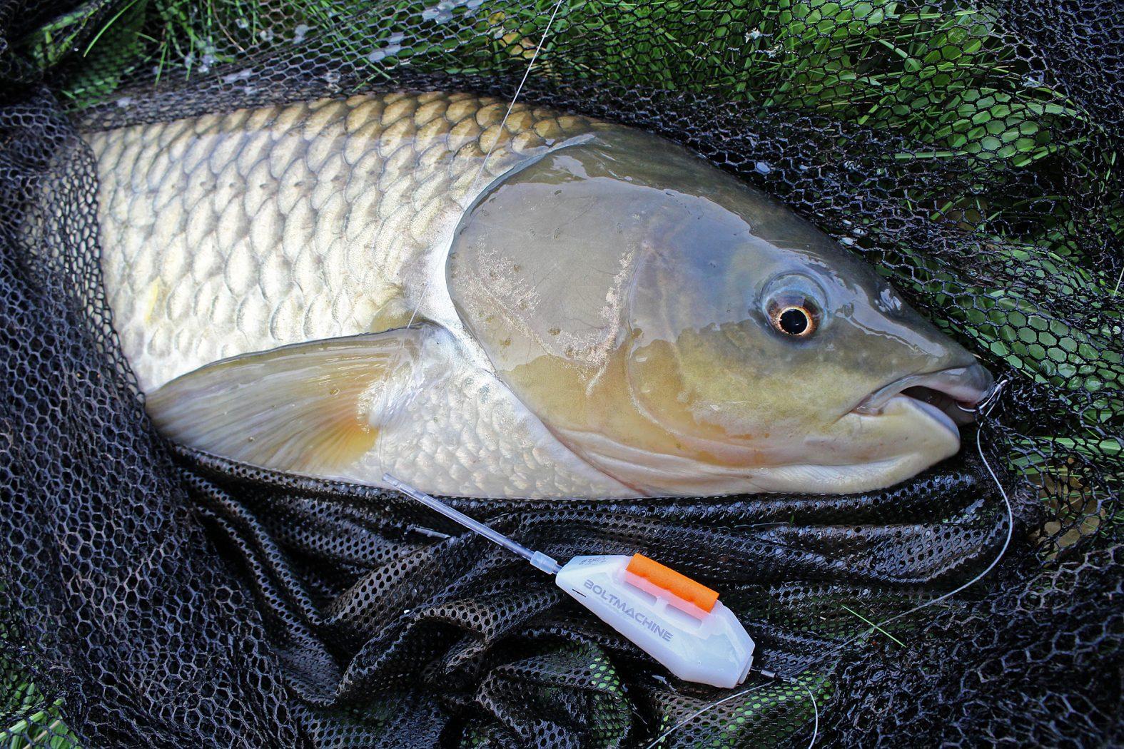 Karpfenangeln an der oberfl che das musst du wissen dr for White amur fish