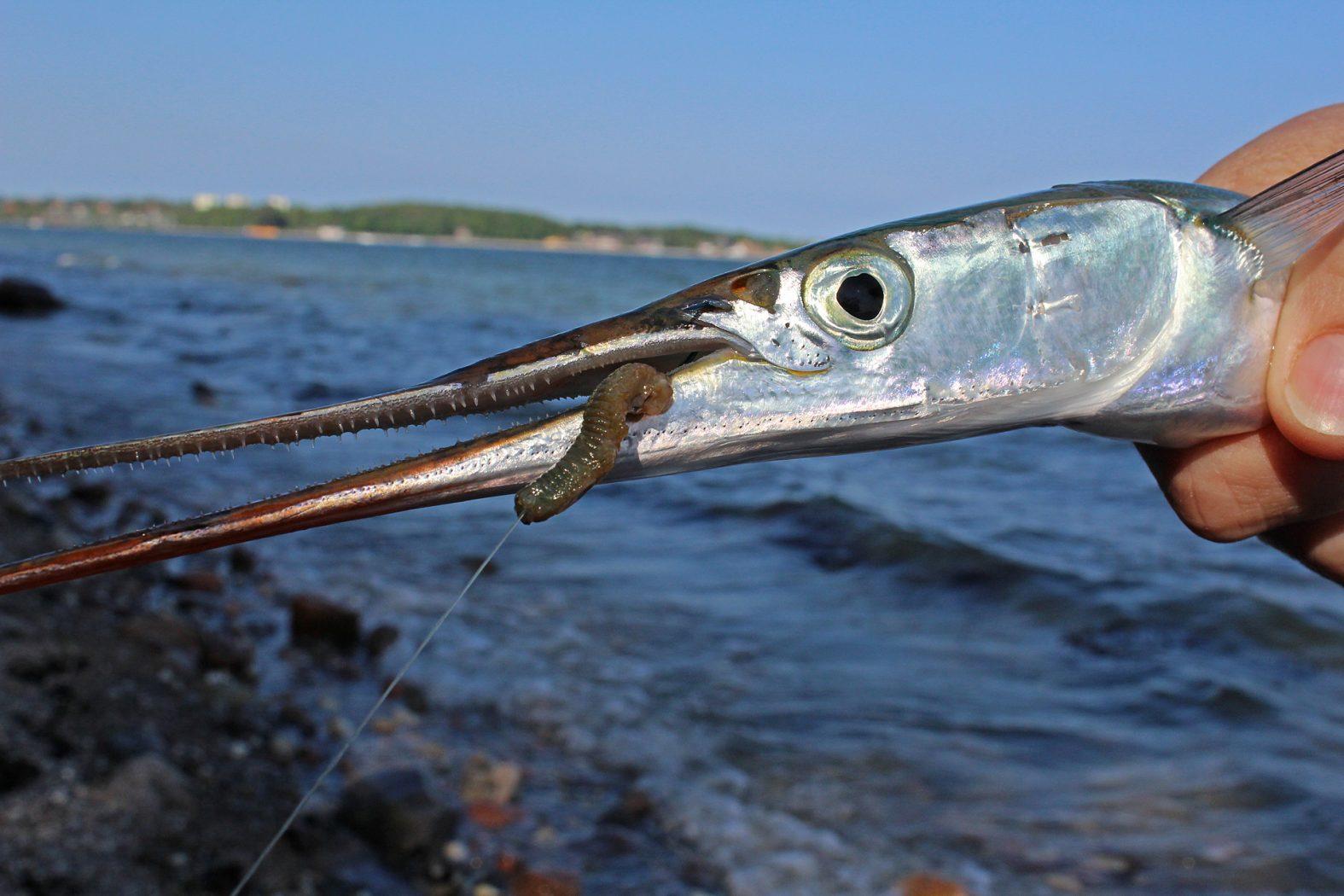 Hornhecht angeln mit Seeringelwurm