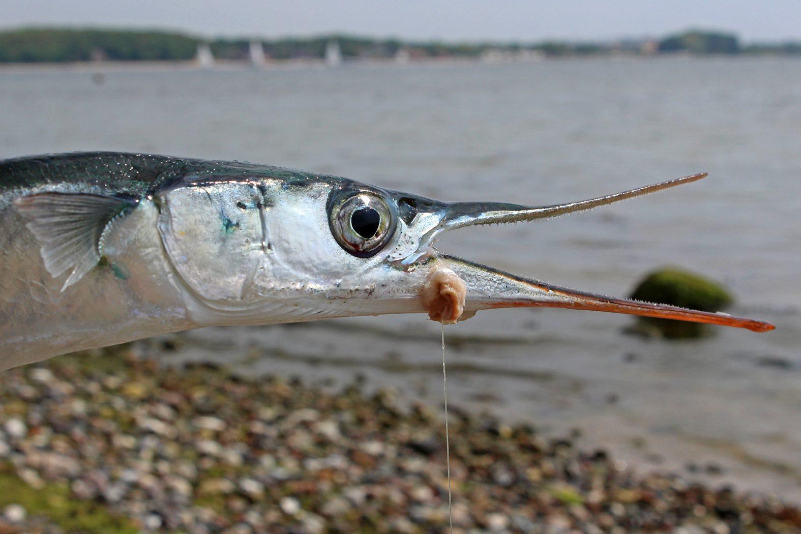 Fischfetzen als Köder für Hornhecht