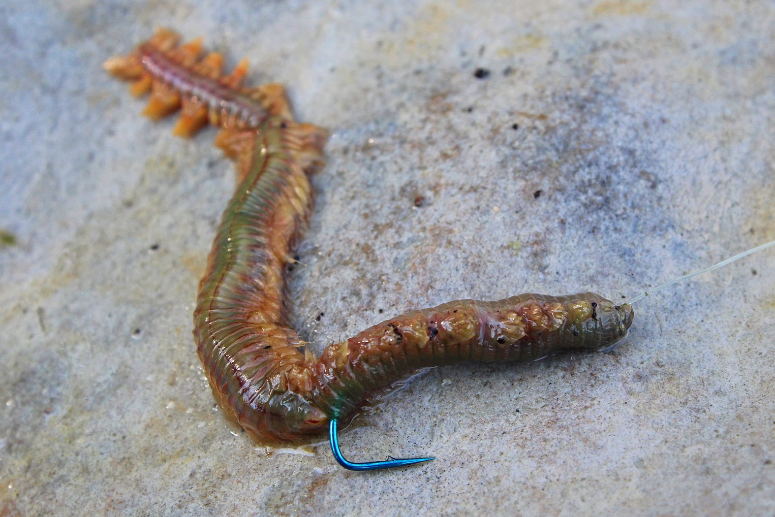 Hornhechtköder Seeringelwurm