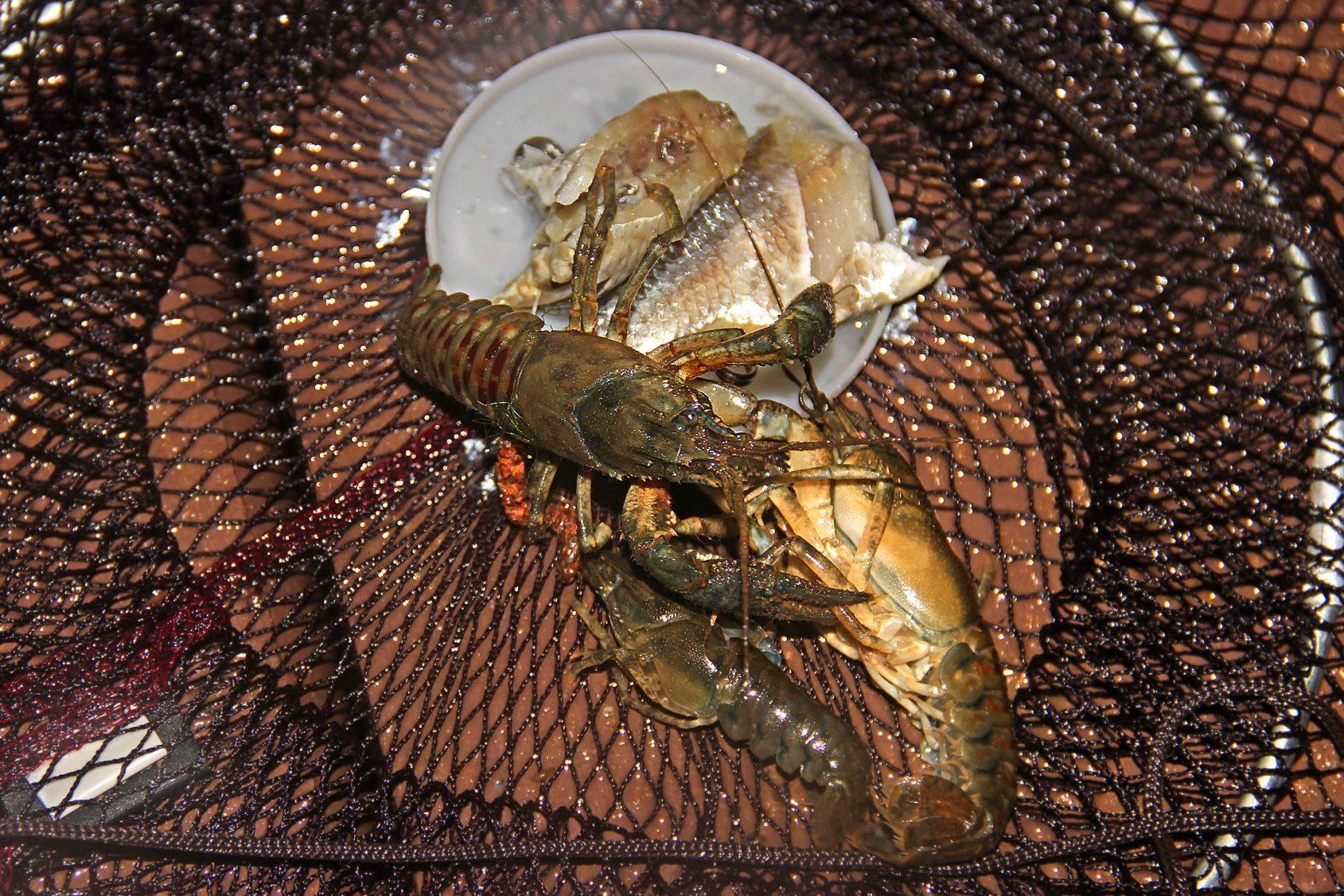 Flusskrebse fangen mit dem Krebsteller